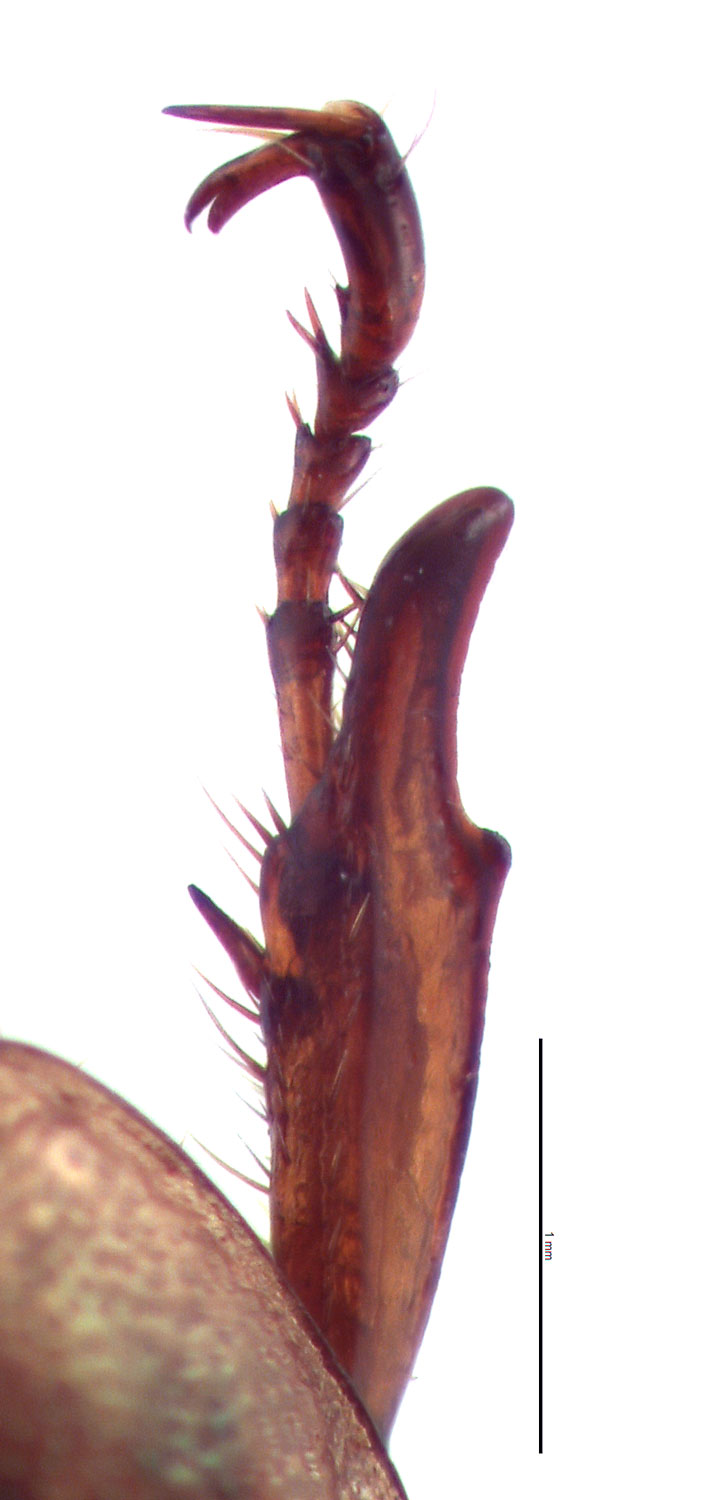 <em>Anomala orientalis </em>female foretibia. By EL Engasser