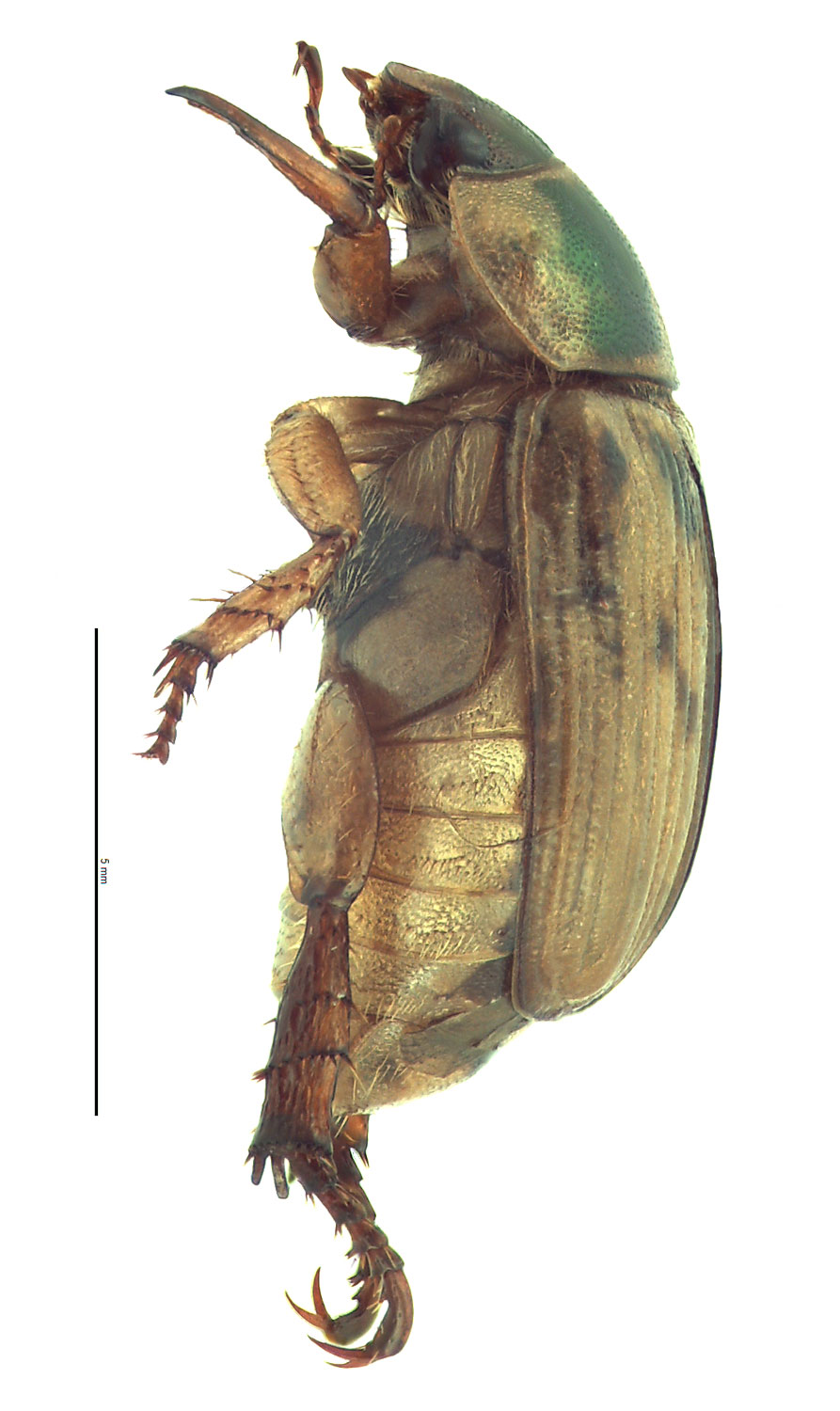 <em>Anomala orientalis </em>female. By EL Engasser