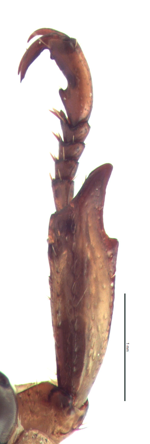 <em>Anomala orientalis </em>male foretibia. By EL Engasser