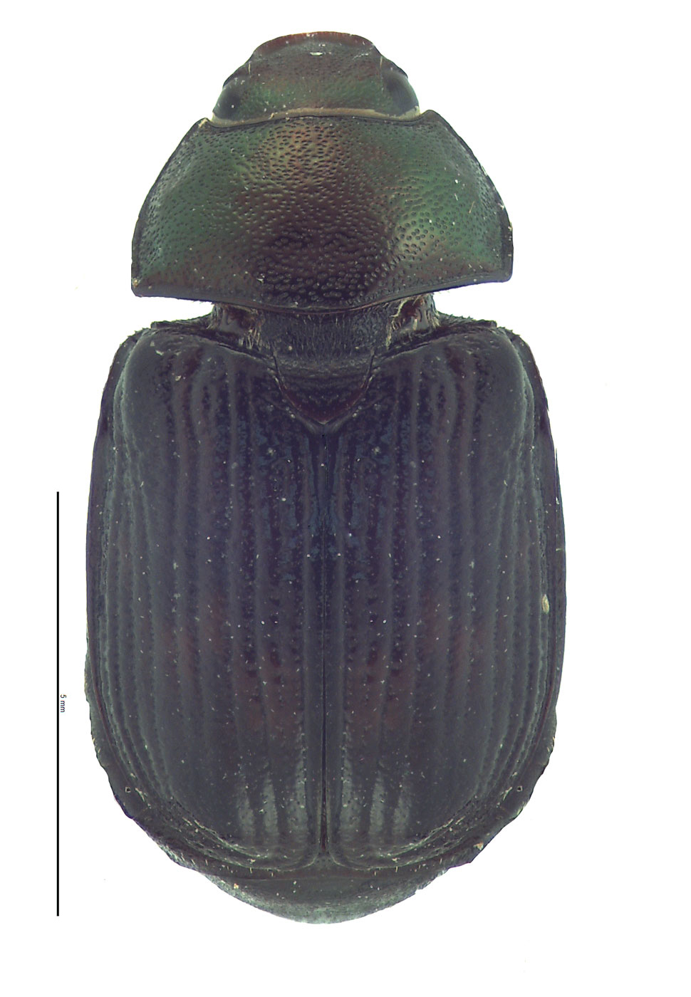 <em>Anomala orientalis </em>color morph. By EL Engasser