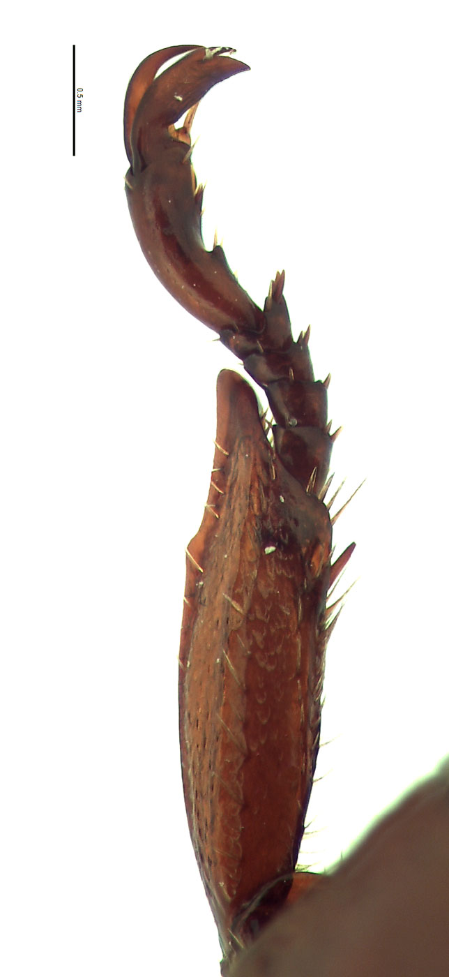 <em>Anomala sulcatula</em> male foretibia; photo by E.L. Engasser