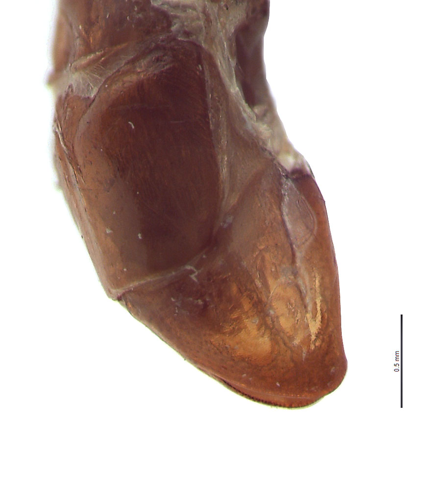 Anomala sulcatula male genitalia, lateral view; photo by E.L. Engasser