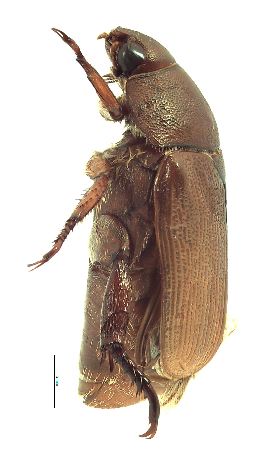 <em>Anomala sulcatula</em> male; photo by E.L. Engasser