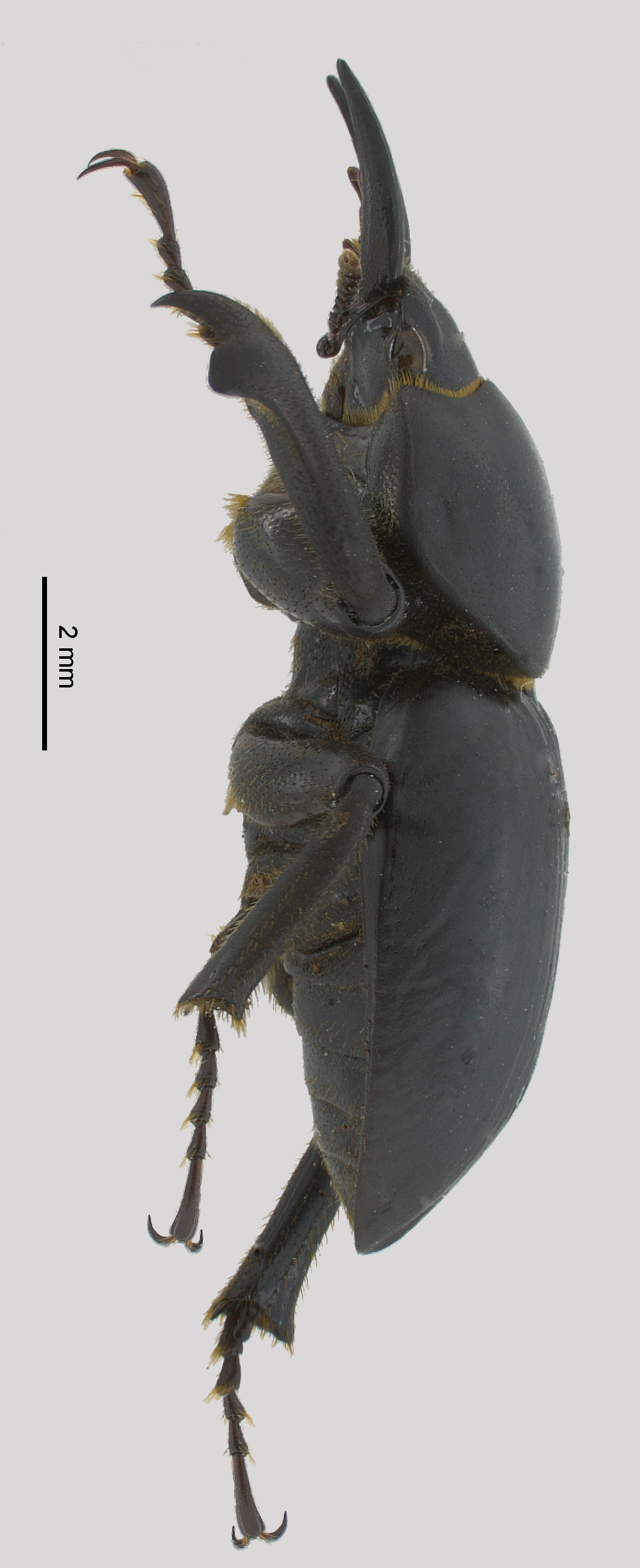 Apterocyclus palmatus male lateral view; photo by J Buck Dunlap