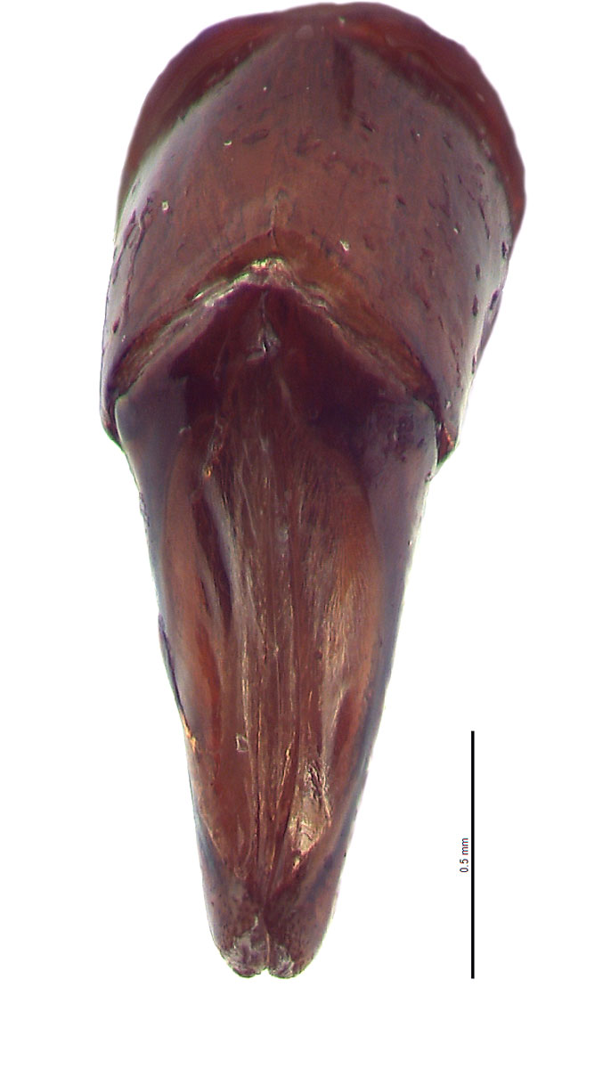 Canthon indigaceus male genitalia, caudal view; photo by E.L. Engasser