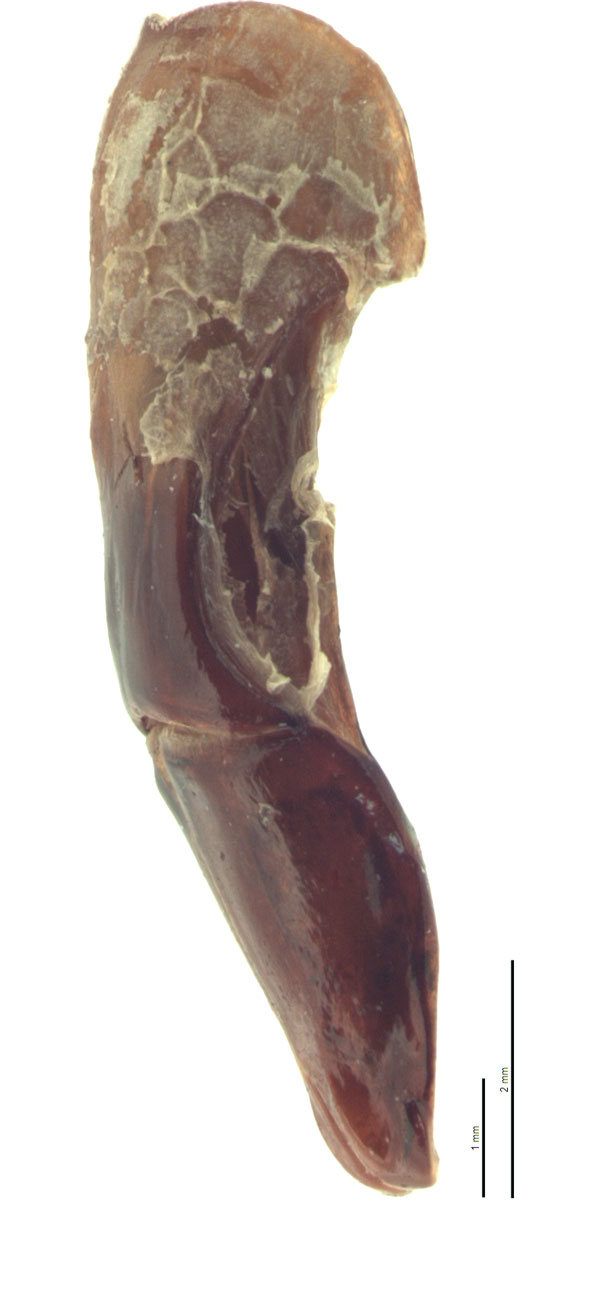 Cotinis mutabilis male genitalia, lateral view; photo by E.L. Engasser
