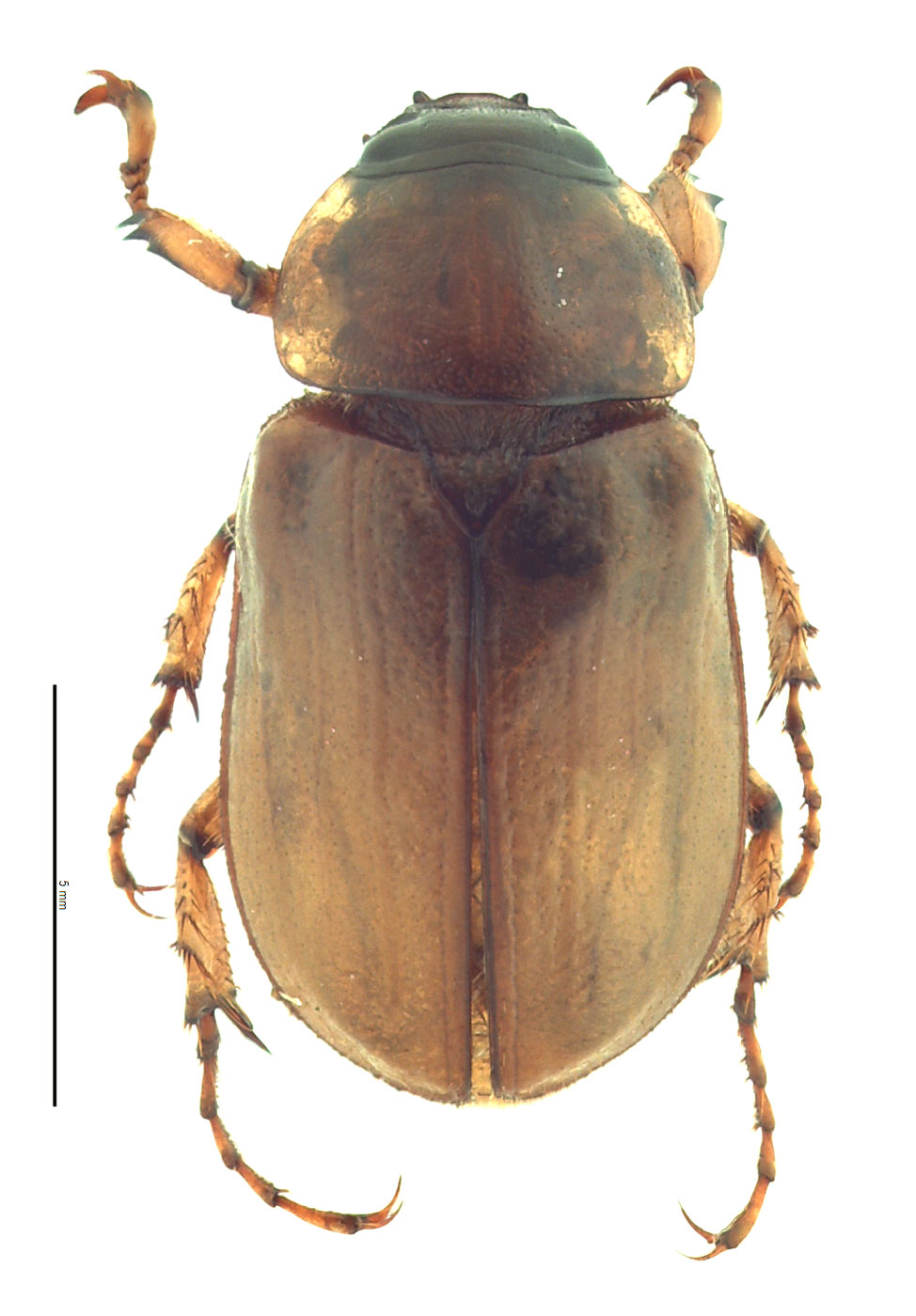 Cyclocephala pasadenae male; photo by E.L. Engasser