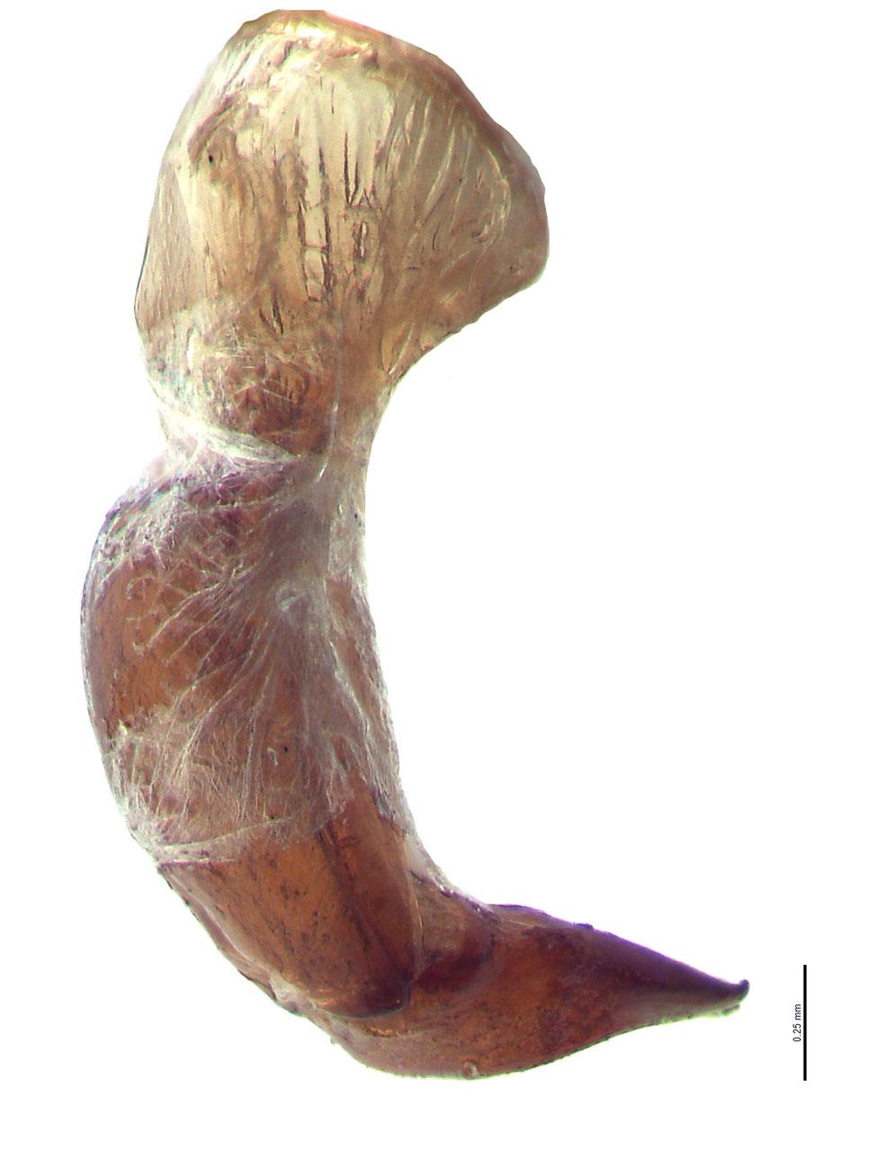 Cyclocephala pasadenae male genitalia, lateral view; photo by E.L. Engasser