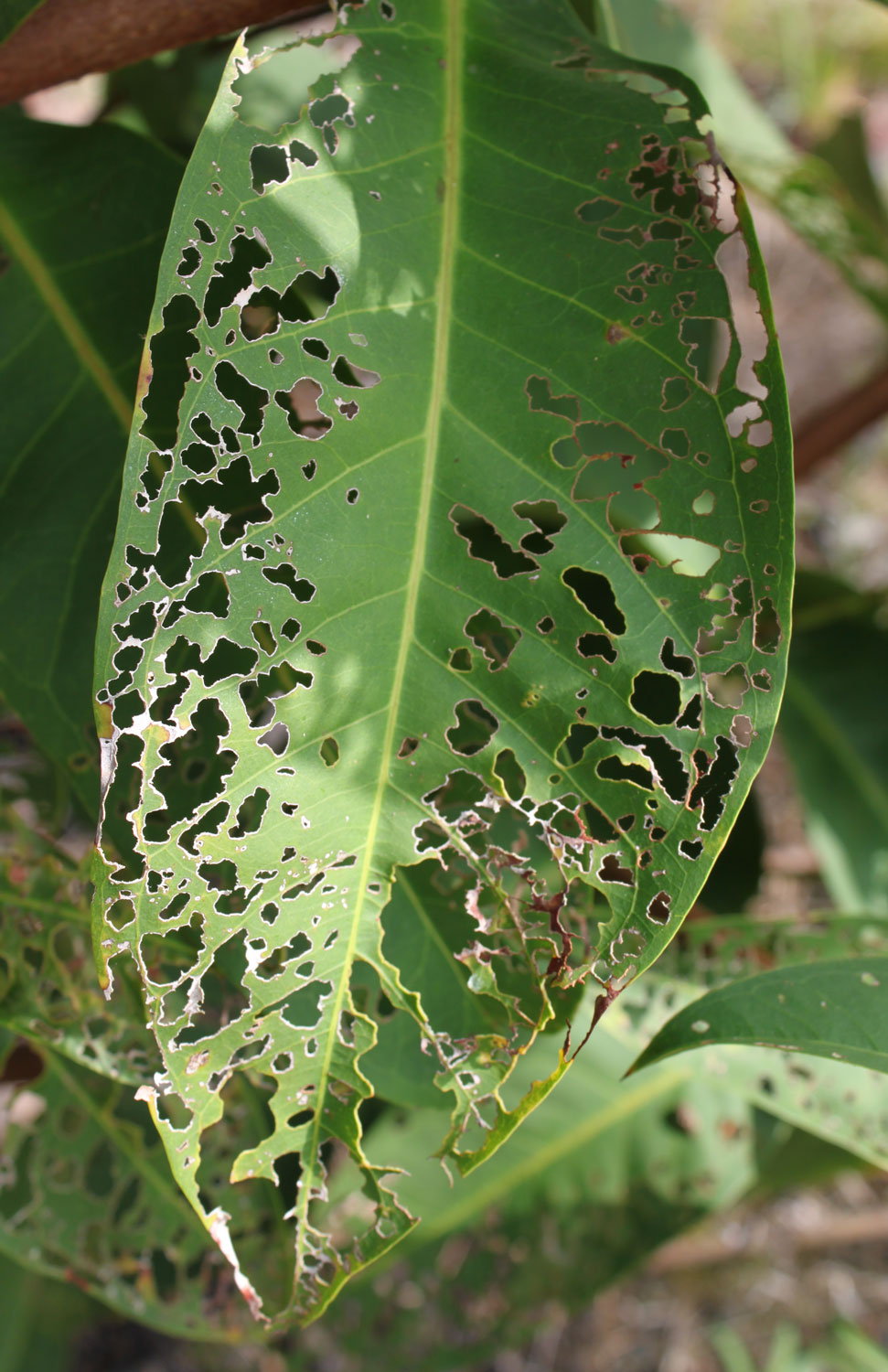 characteristic <em>Adoretus sinicus</em> damage on a leaf; photo by E.L. Engasser