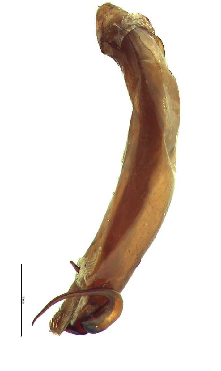 Maladera castanea male genitalia, lateral view of left side; photo by E.L. Engasser