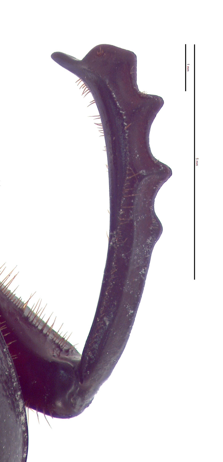 Onitis phartopus male foretibia; photo by E.L. Engasser