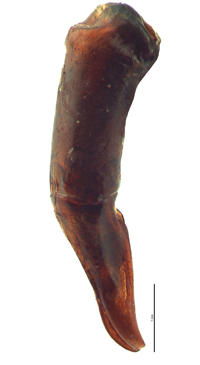 Onitis phartopus male genitalia, lateral view; photo by E.L. Engasser