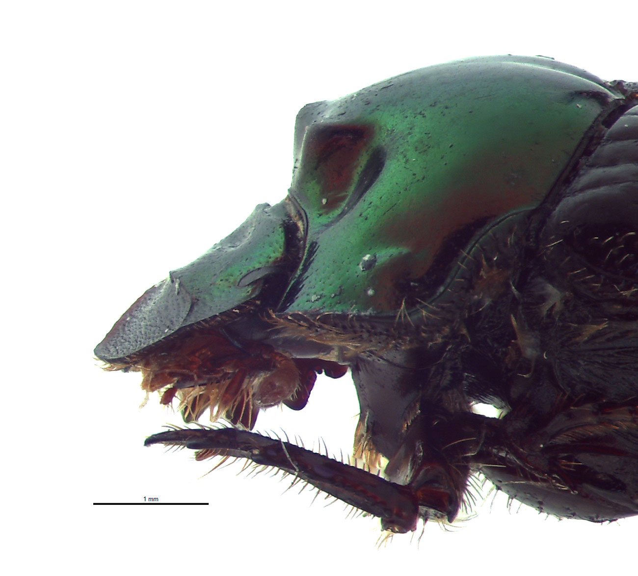 Onthophagus cuniculus female; photo by E.L. Engasser
