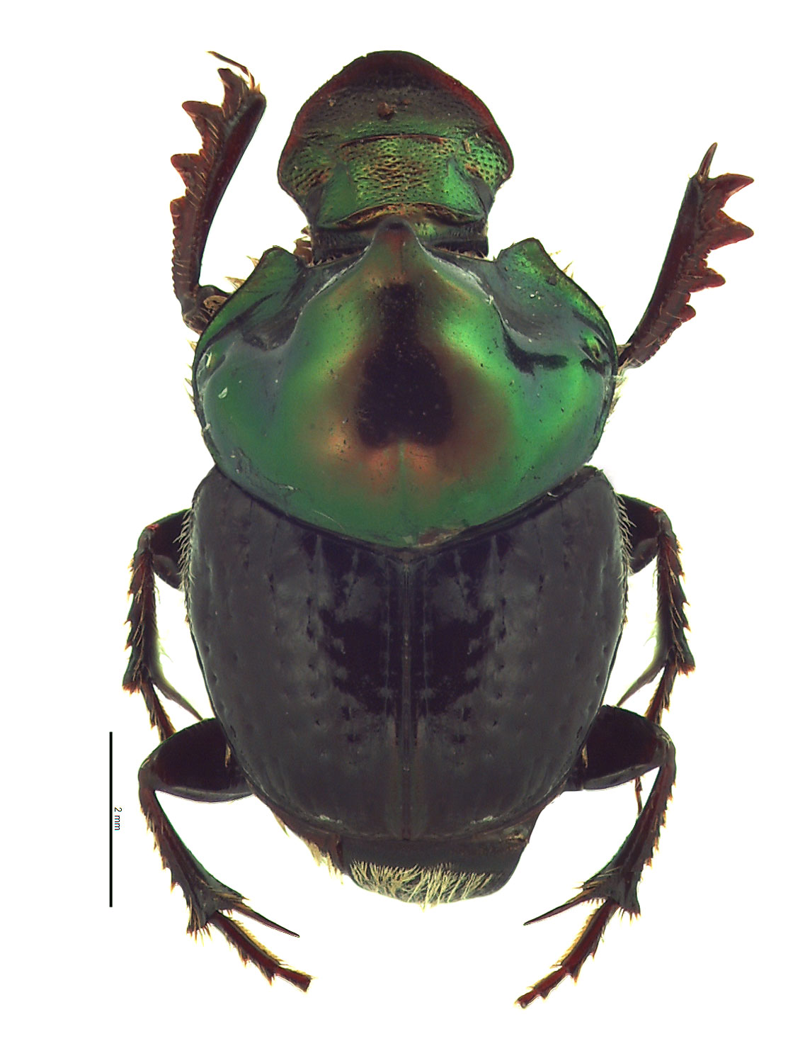 Onthophagus cuniculus male; photo by E.L. Engasser