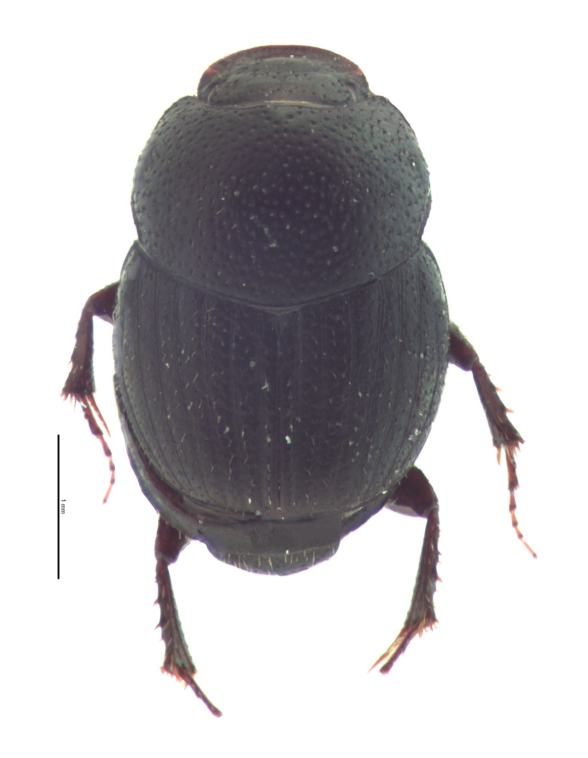 Onthophagus oklahomensis male; photo by E.L. Engasser