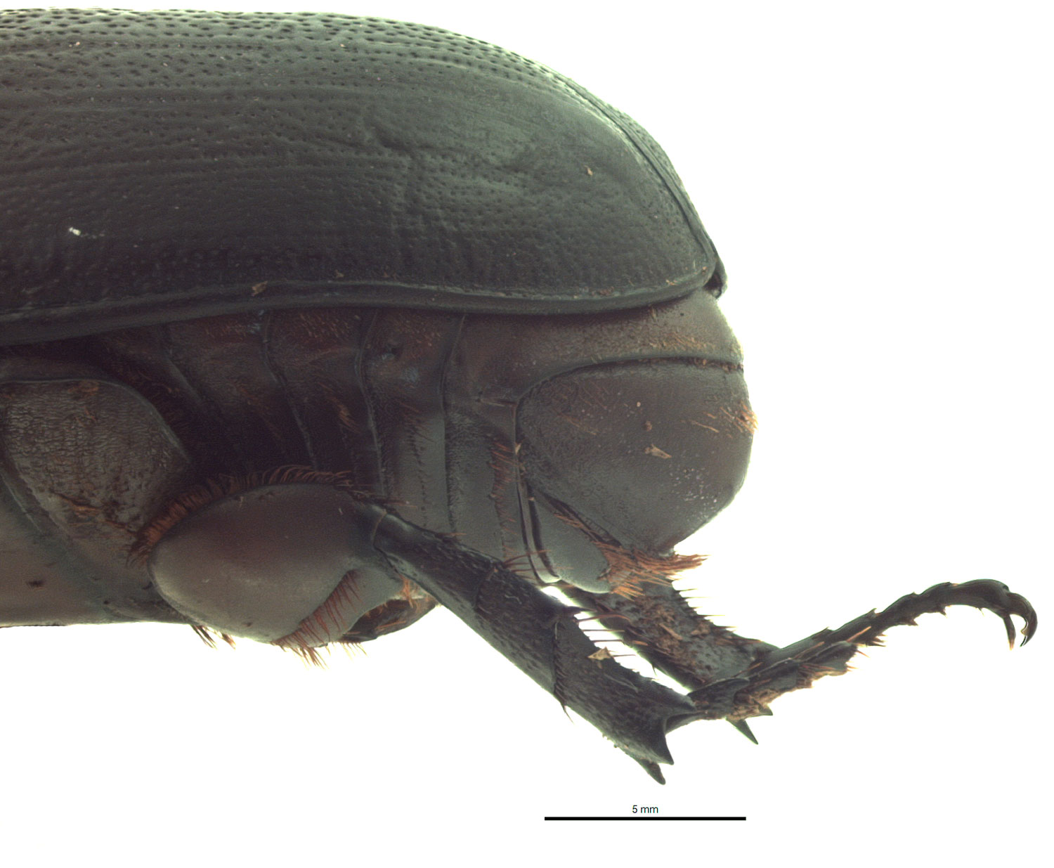 Oryctes rhinoceros male pygidium, lateral view; photo by E.L. Engasser