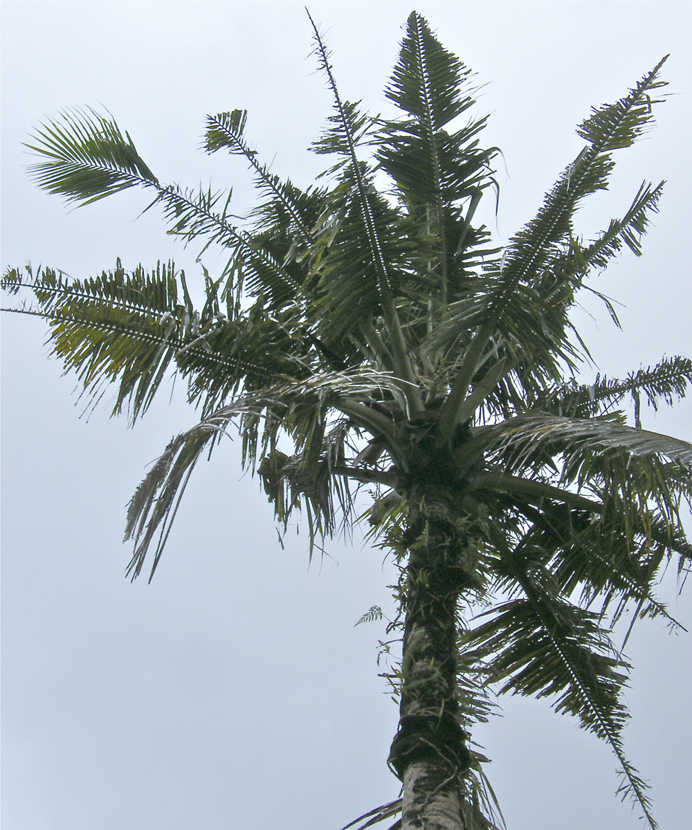 coconut palm showing characteristic Oryctes damage to fronds in Guam; photo by M.L. Jameson