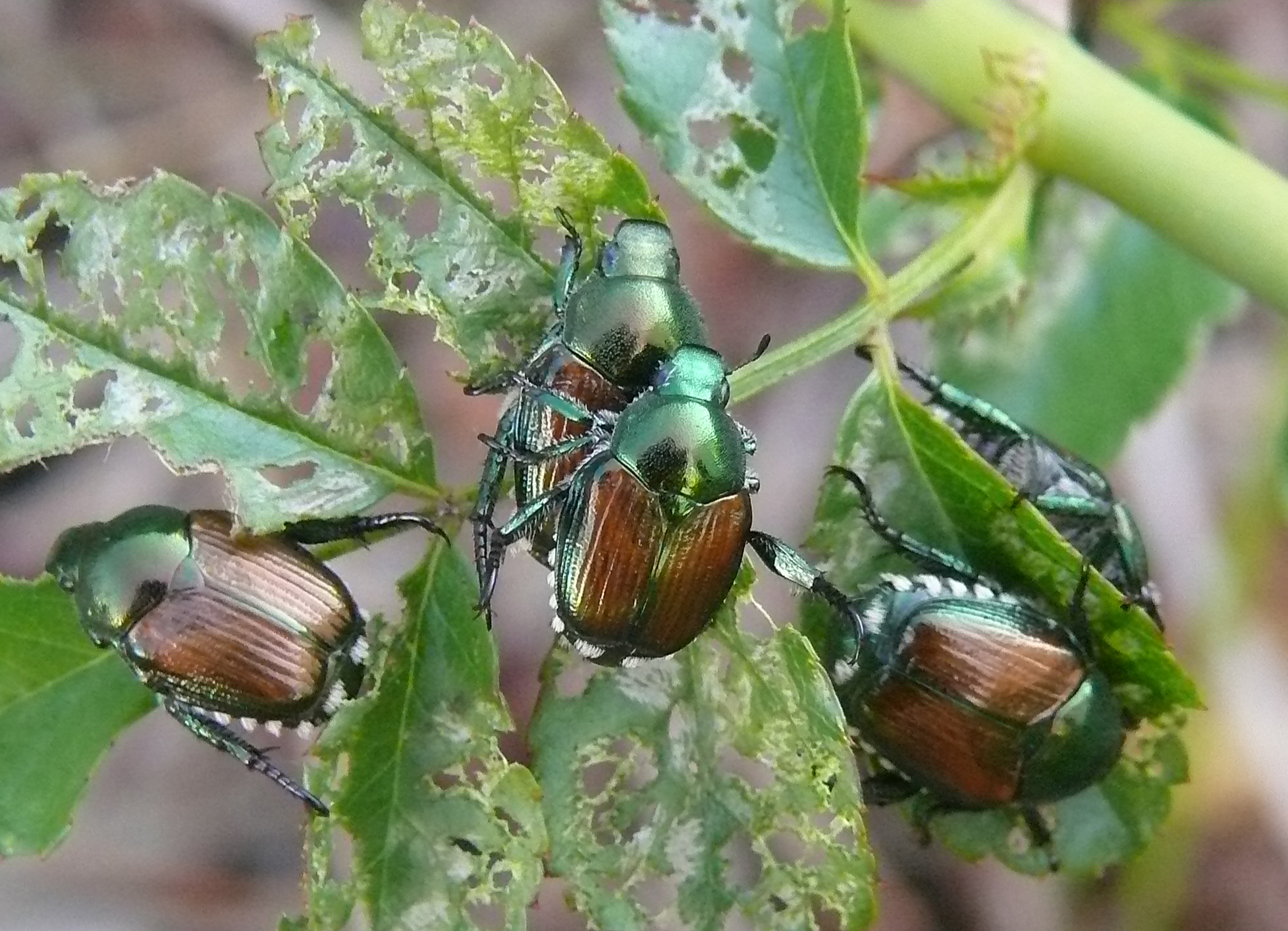 Popillia japonica mating and feeding by day, plant leaves with characteristic damage; photo by Lamba
