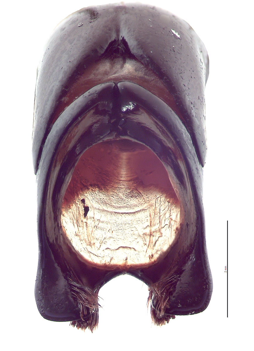 Xylotrupes ulysses male genitalia, caudal view; photo by E.L. Engasser