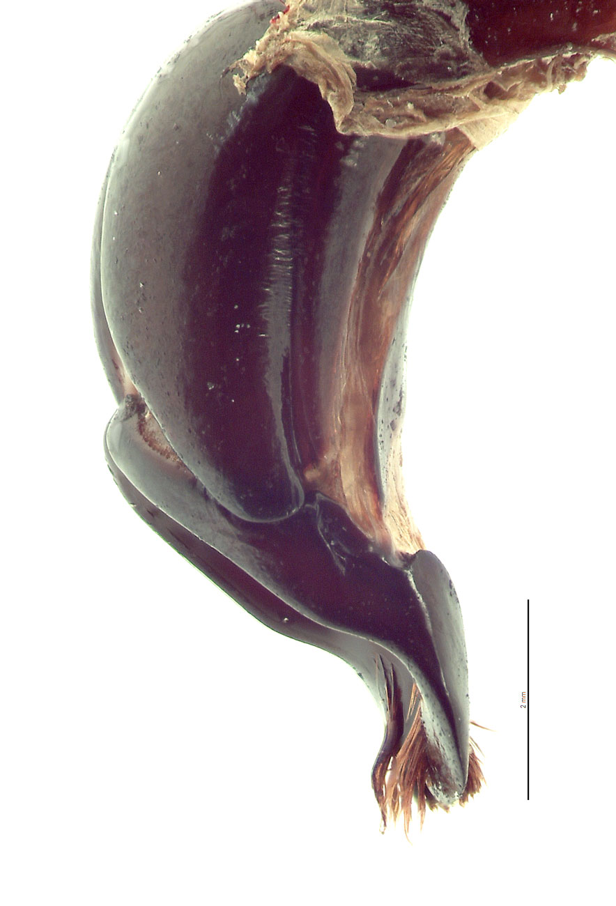 Xylotrupes ulysses male genitalia, lateral view; photo by E.L. Engasser