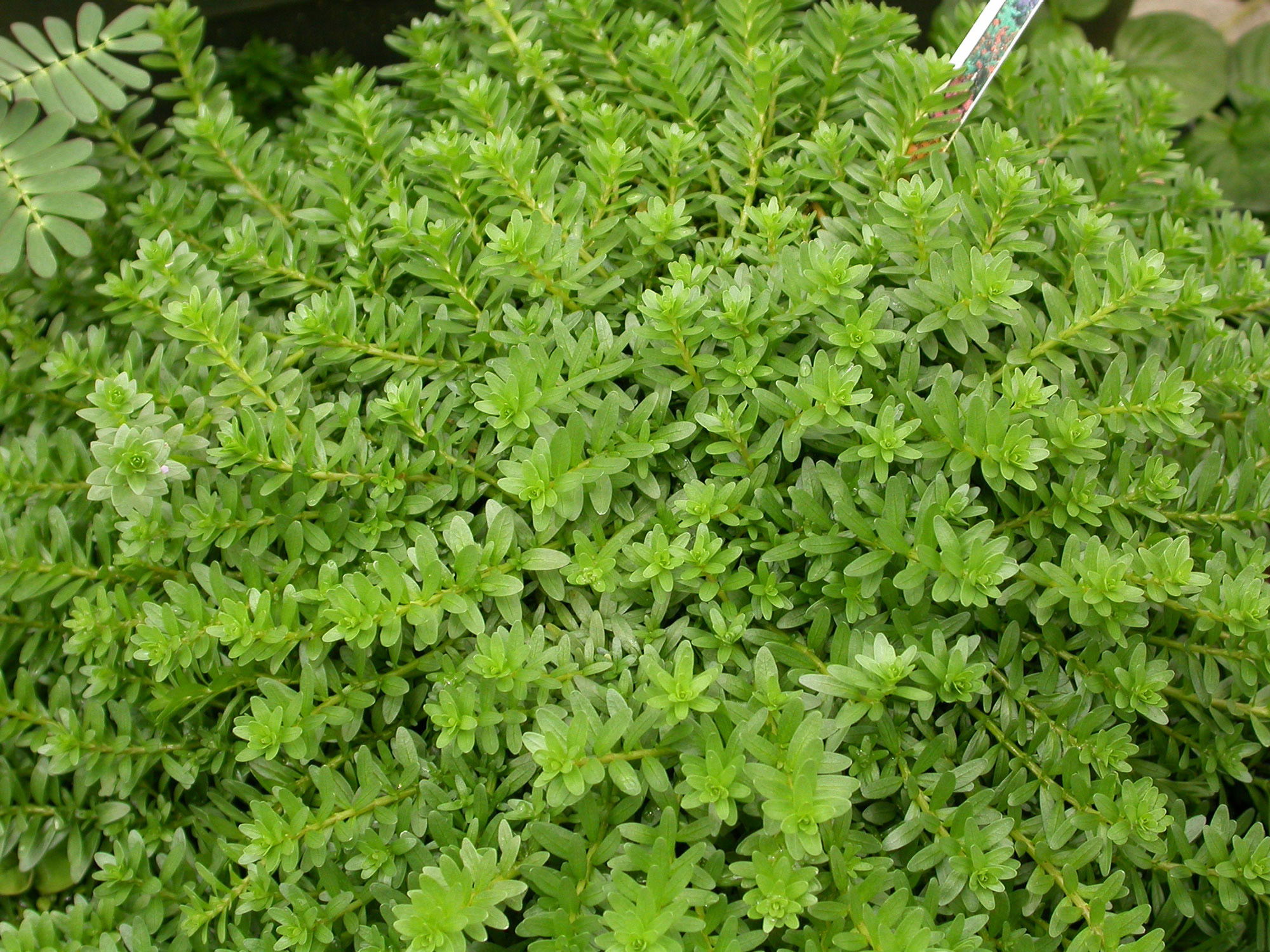 APPW: Rotala