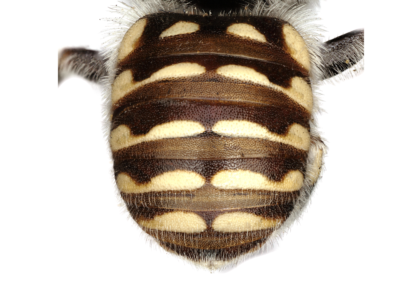 Fig 13. <em>Anthidium jocosum</em> female abdomen.  Photo: C. Ritner