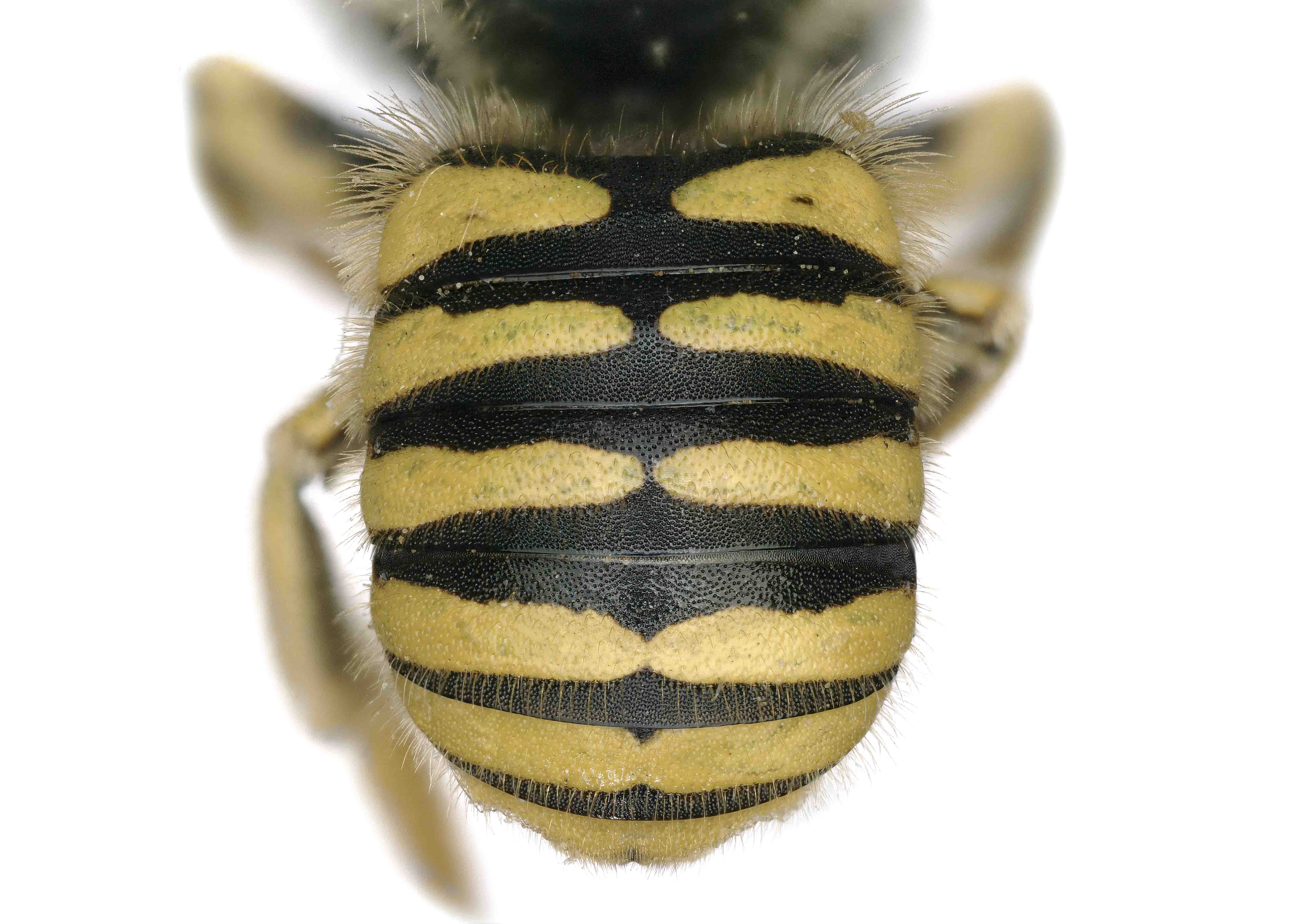 Fig 10. <em>Anthidium mormonum</em> female abdomen.  Photo: C. Ritner