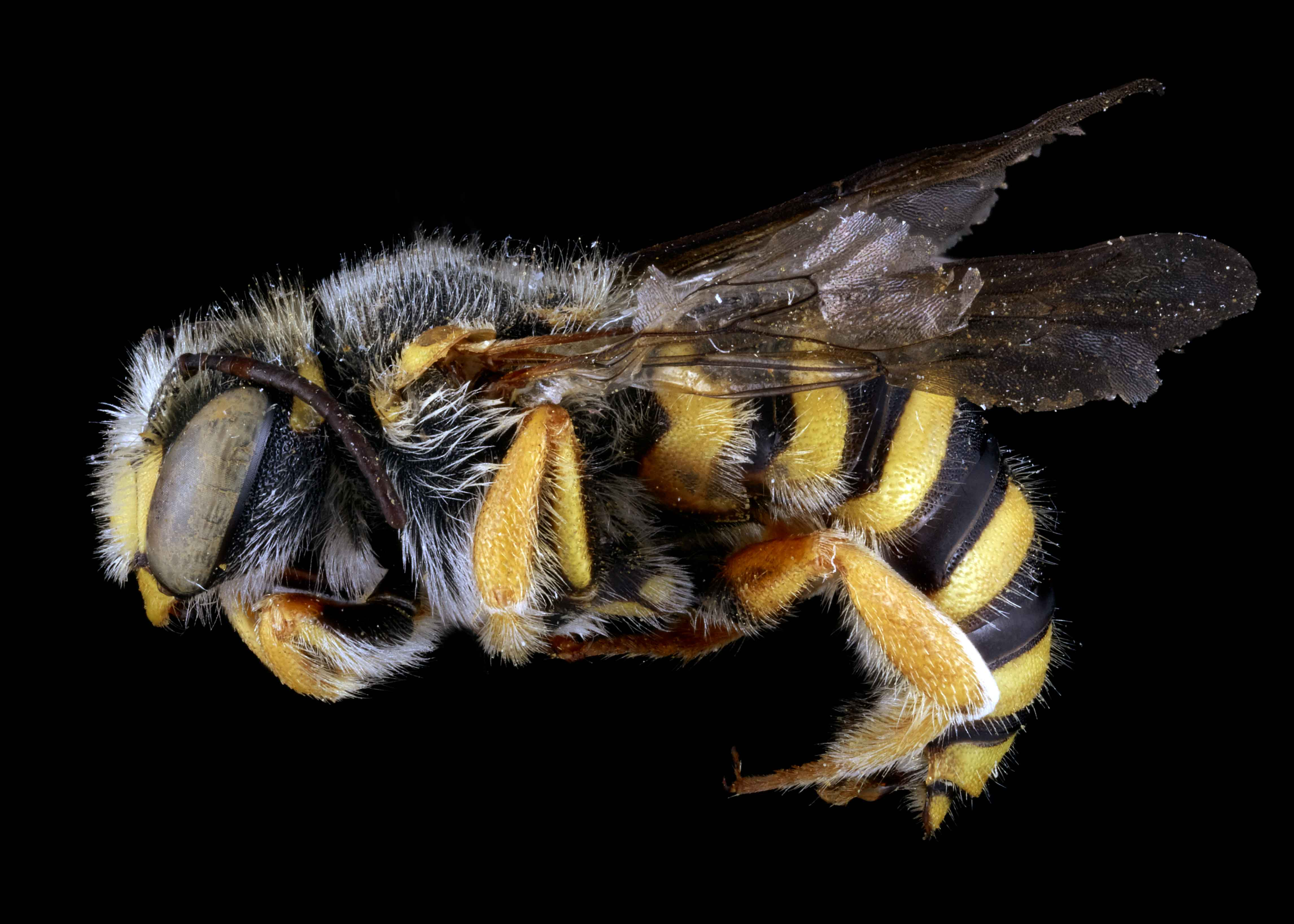 Fig 7. <em>Anthidium oblongatum</em> male lateral habitus.&nbsp;  Photo: C. Ritner