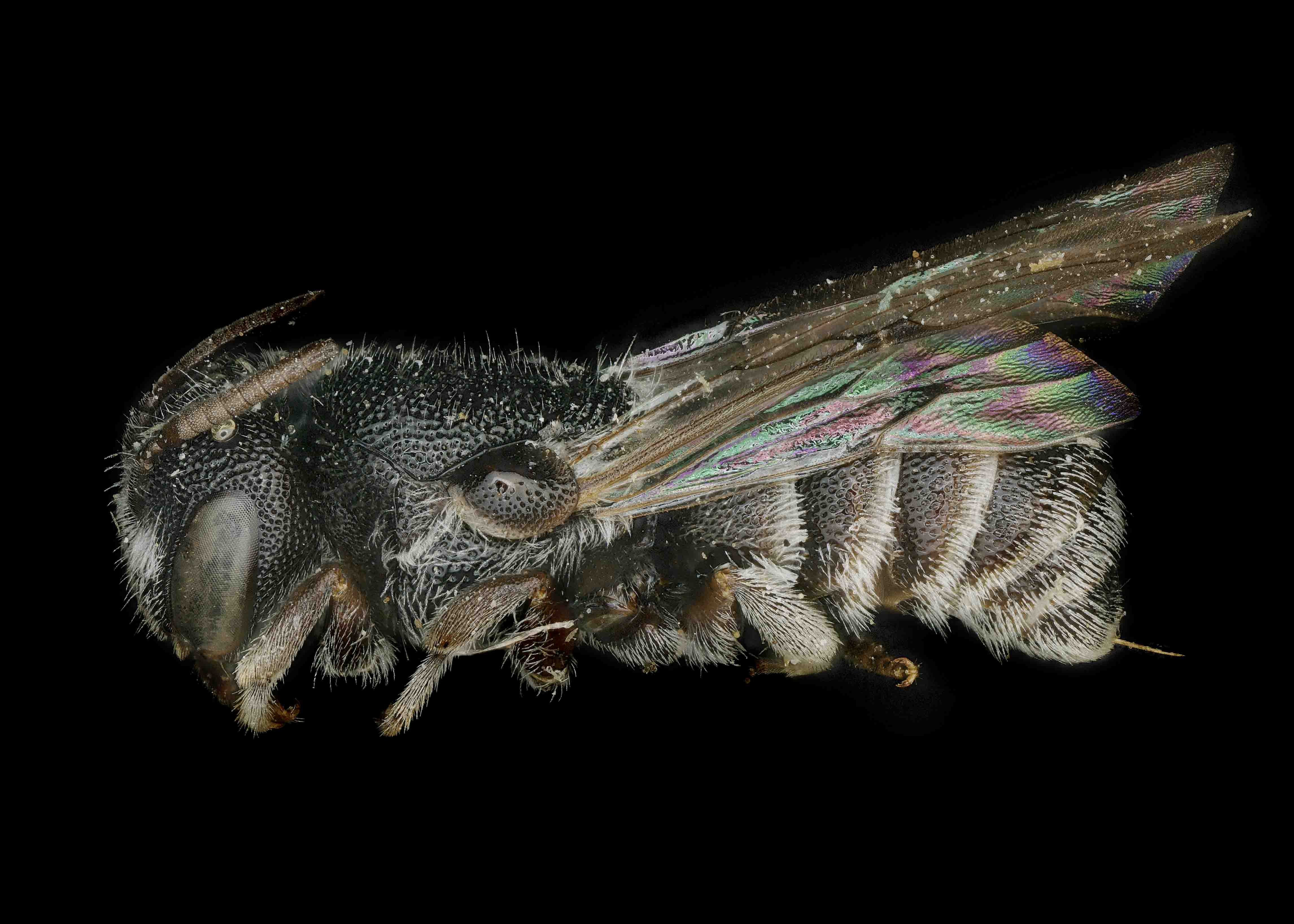 Fig 2.&nbsp;<em>Afrostelis aethiopica</em> female lateral habitus.&nbsp;  Photo: C. Ritner