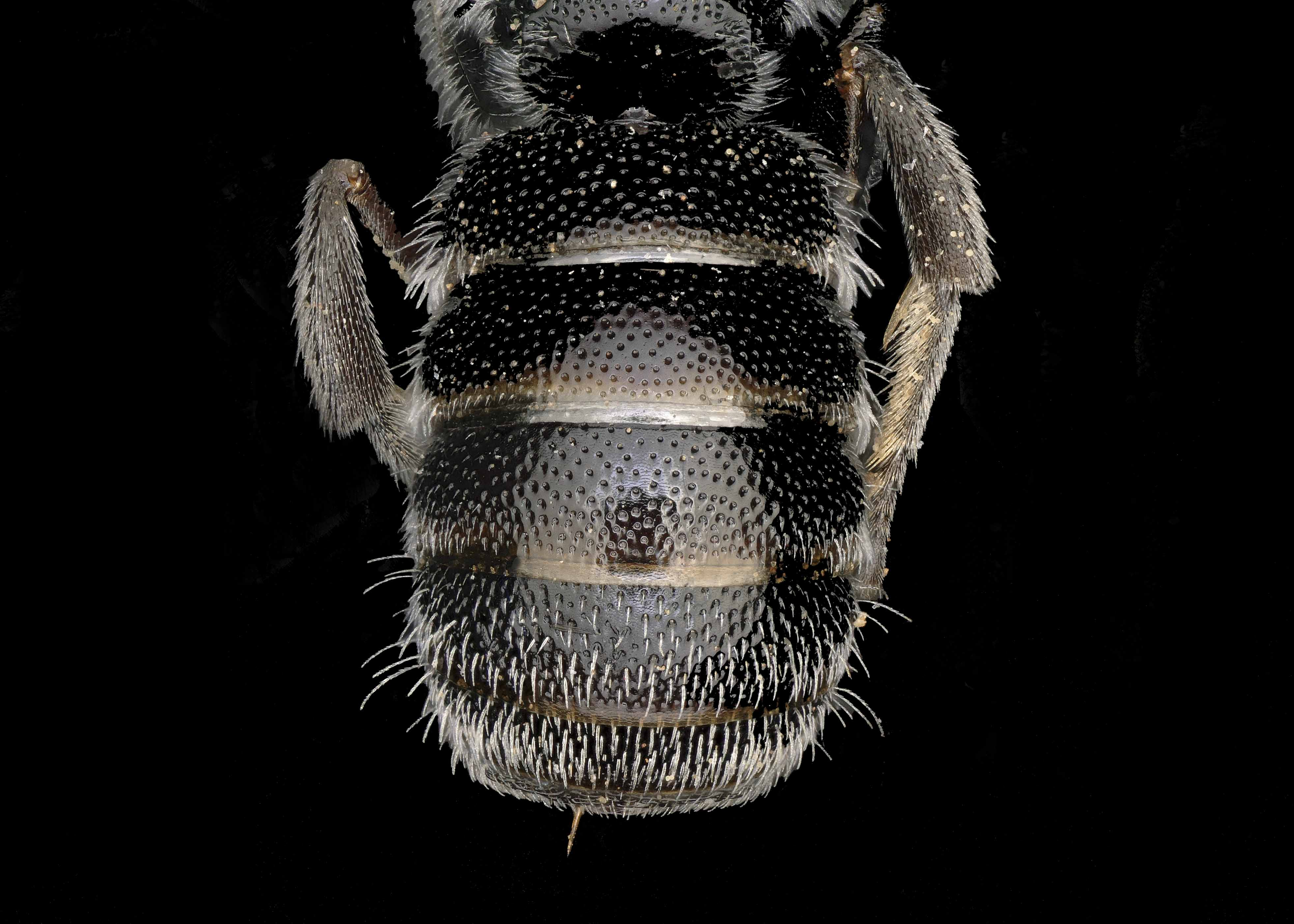 Fig 3.&nbsp;<em>Afrostelis aethiopica</em>&nbsp;female abdomen.&nbsp;  Photo: T. Brady