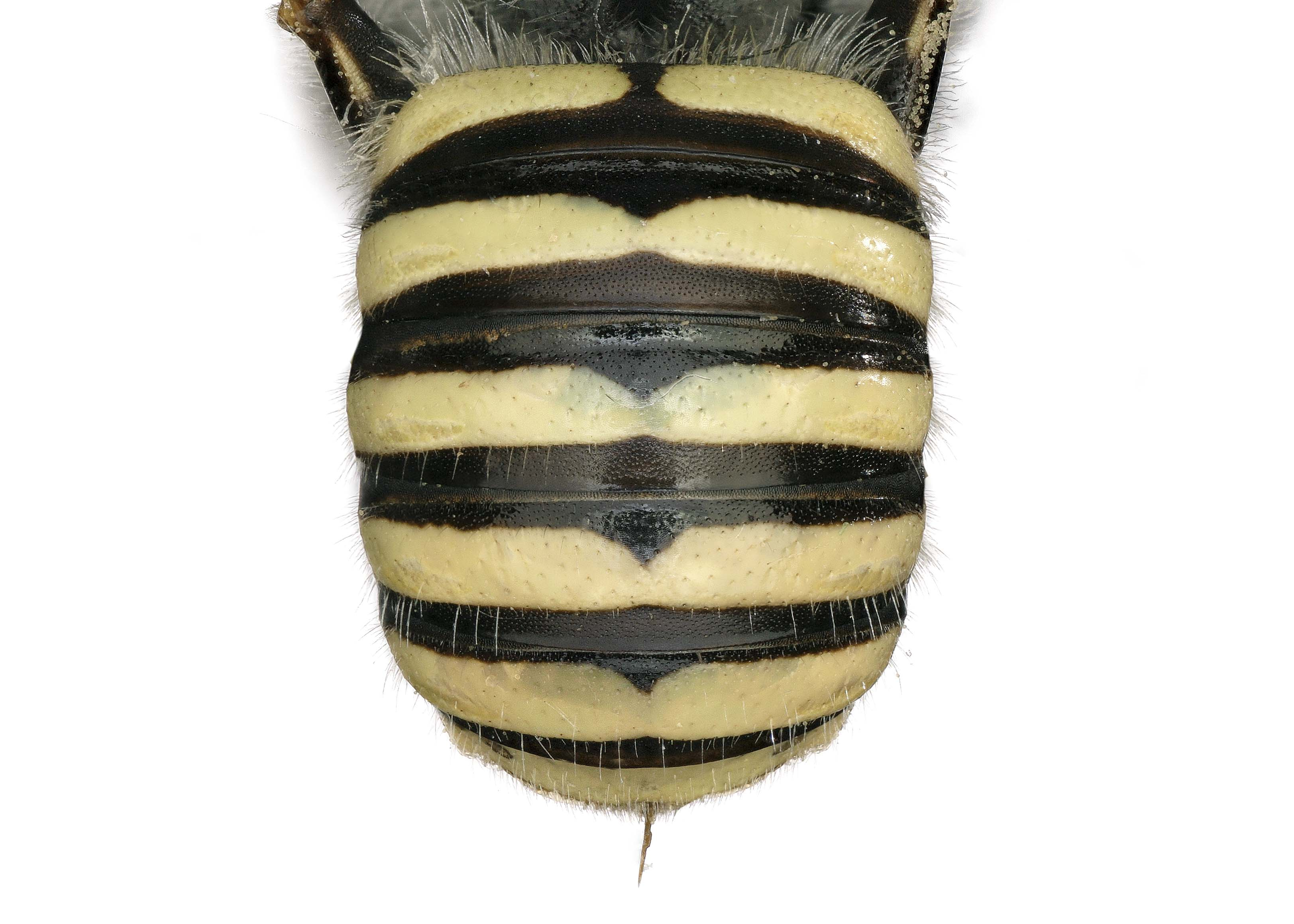 Fig 11. <em>Anthidium rodecki</em> female abdomen.  Photo: C. Ritner