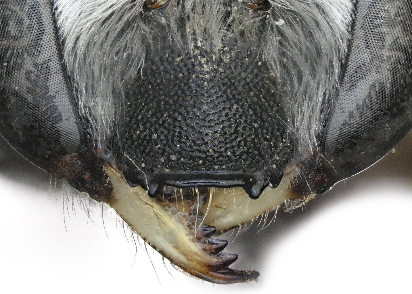 Fig 8.&nbsp;<em>Anthidium cockerelli</em> female clypeus.  Photo: C. Ritner
