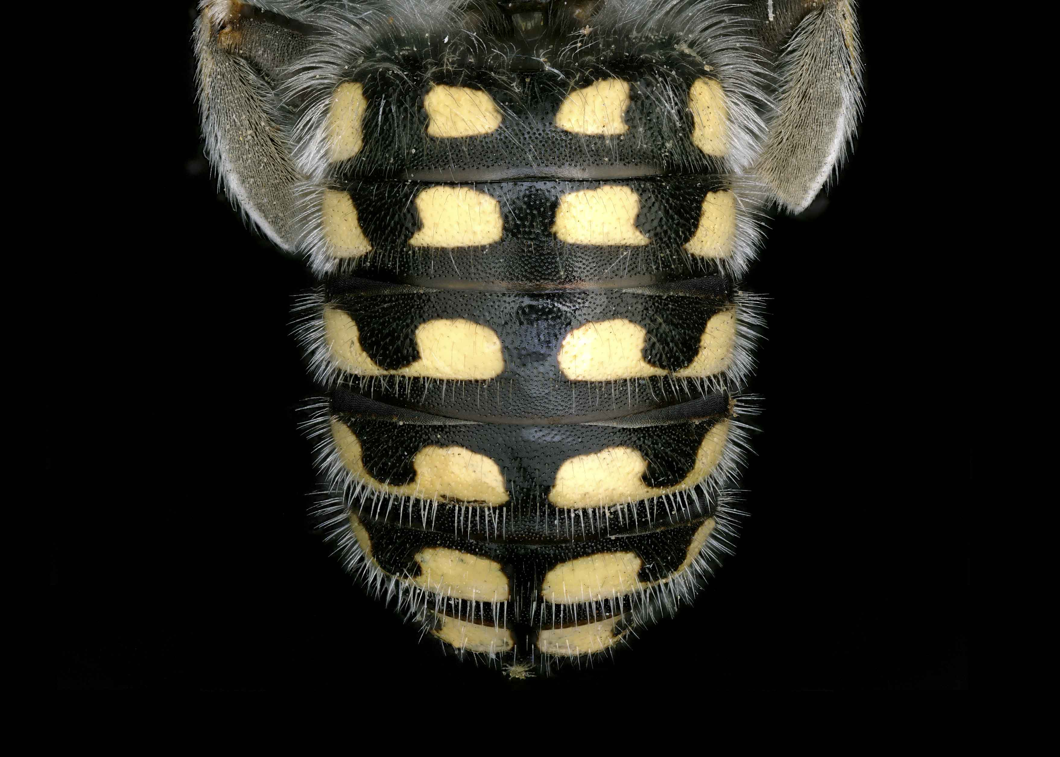 Fig 3. <em>Anthidium cockerelli&nbsp;</em>male abdomen.&nbsp;  Photo: T. Brady