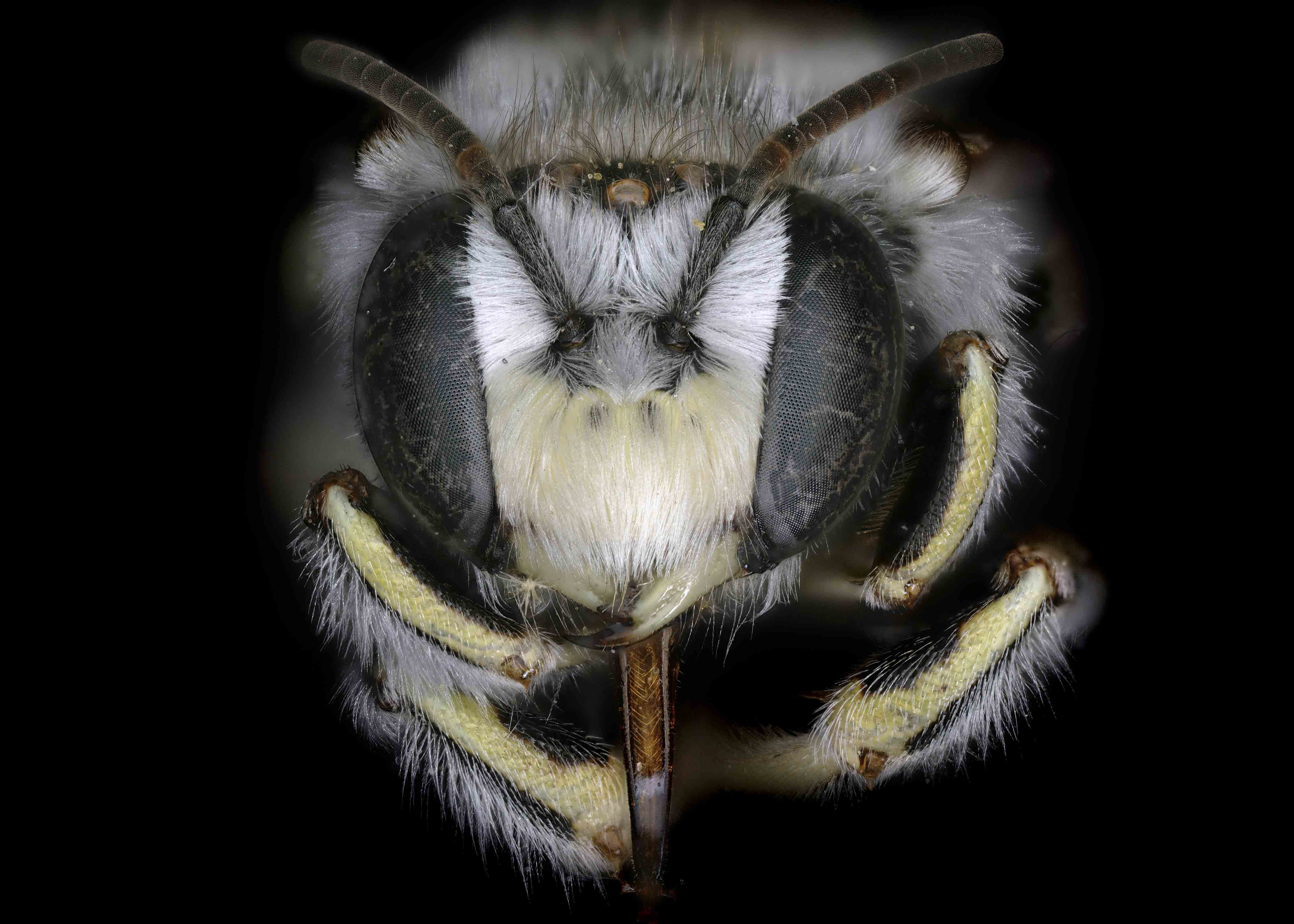 Fig 1.&nbsp;<em>Anthidium cockerelli</em> male face.&nbsp;  Photo: C. Ritner