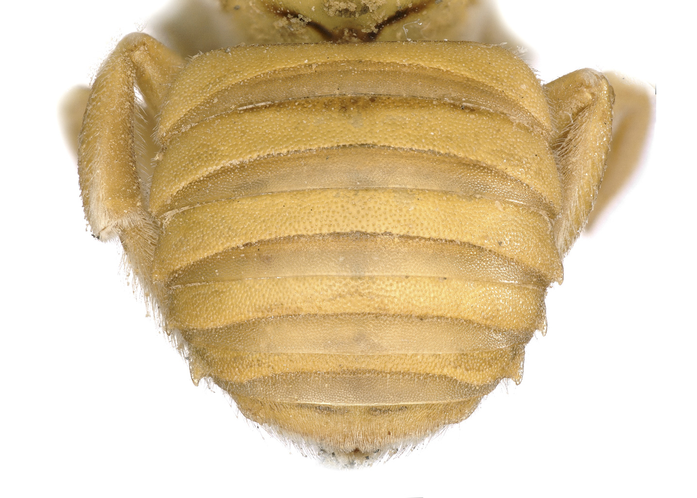 Fig 12.<em>&nbsp;Anthidium (Gulanthidum) sp.&nbsp;</em>female abdomen.  Photo: C. Ritner