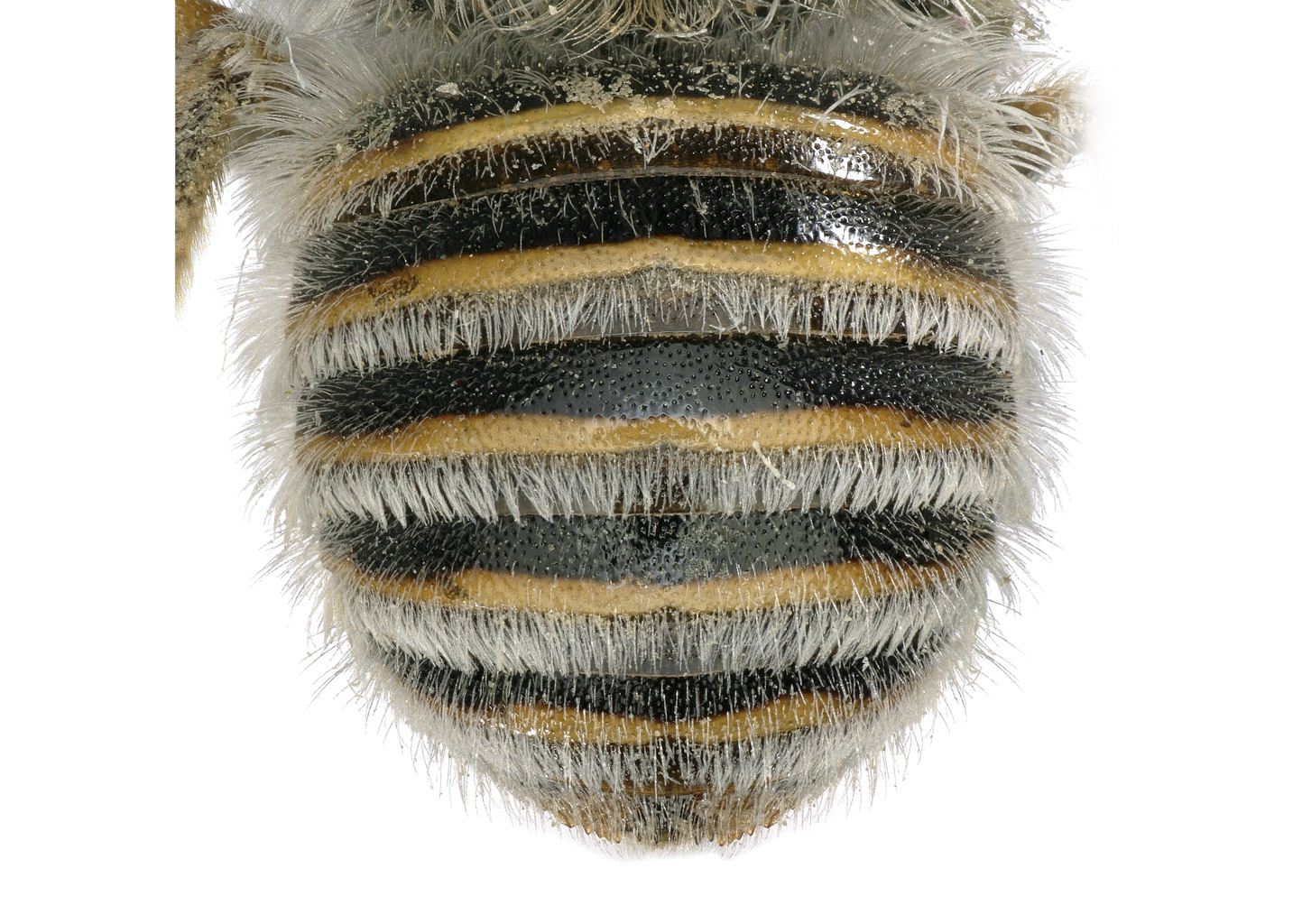 Fig 4. <em>Afranthidium tergoangulatum</em> female hairbands complete.  Photo: C. Ritner