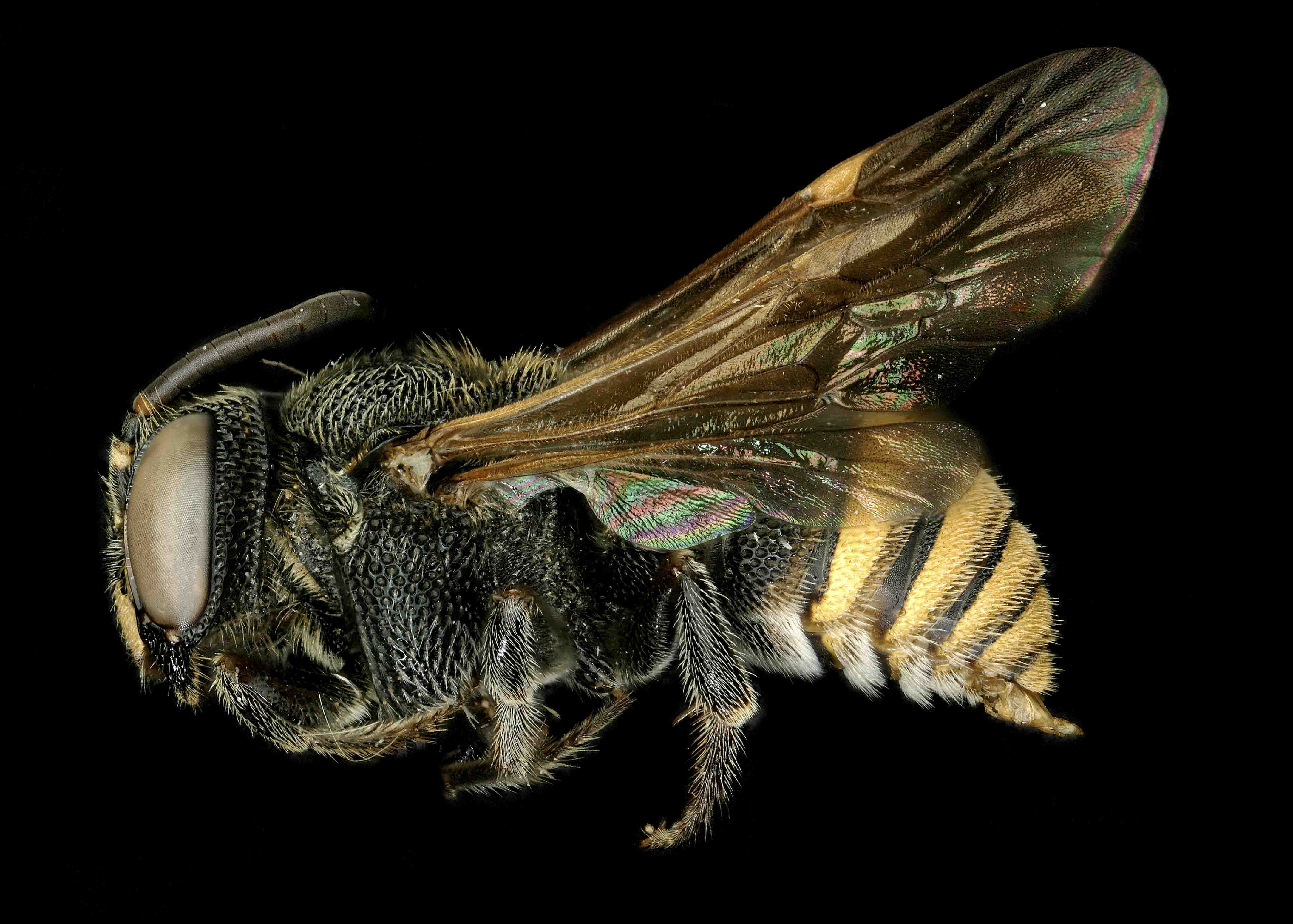 Fig 2.&nbsp;<em>Anthodioctes megachiloides </em>male lateral habitus.  Photo: C. Ritner
