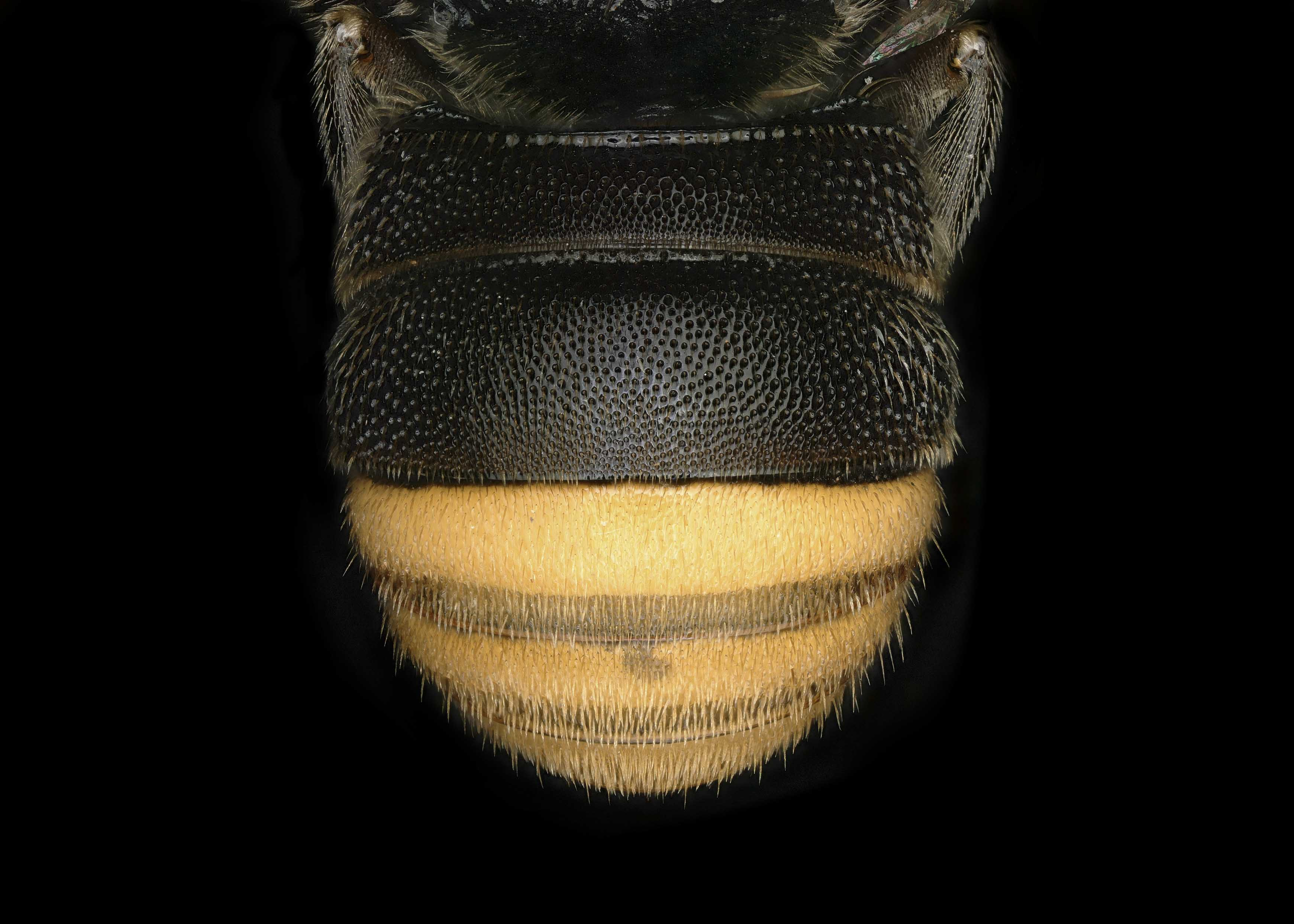Fig 3.&nbsp;<em>Anthodioctes megachiloides&nbsp;</em>male lateral habitus.  Photo: C. Ritner