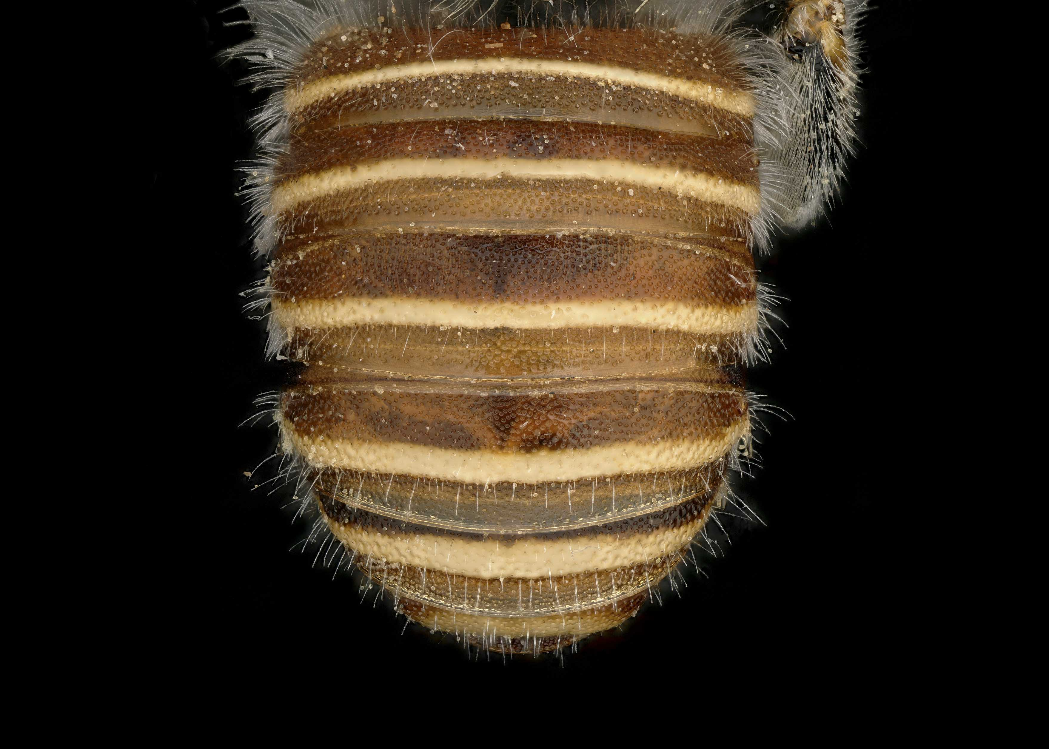 FIg 3. <em>Afranthidium karooense </em>male abdomen.  Photo: T. Brady
