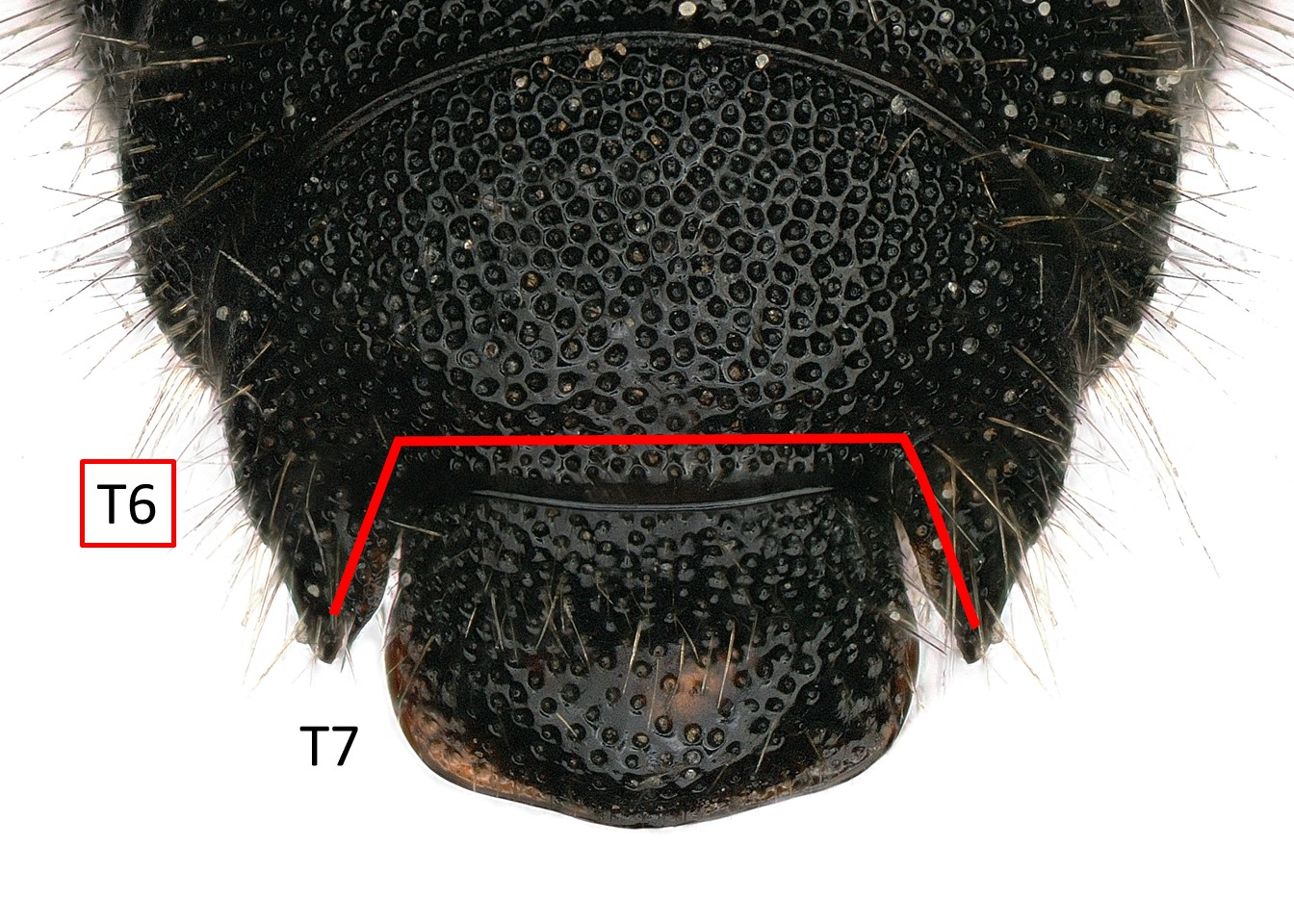 Fig 4. <em>Afroheriades primus</em> male T6 and T7.&nbsp;  Photo: C. Ritner