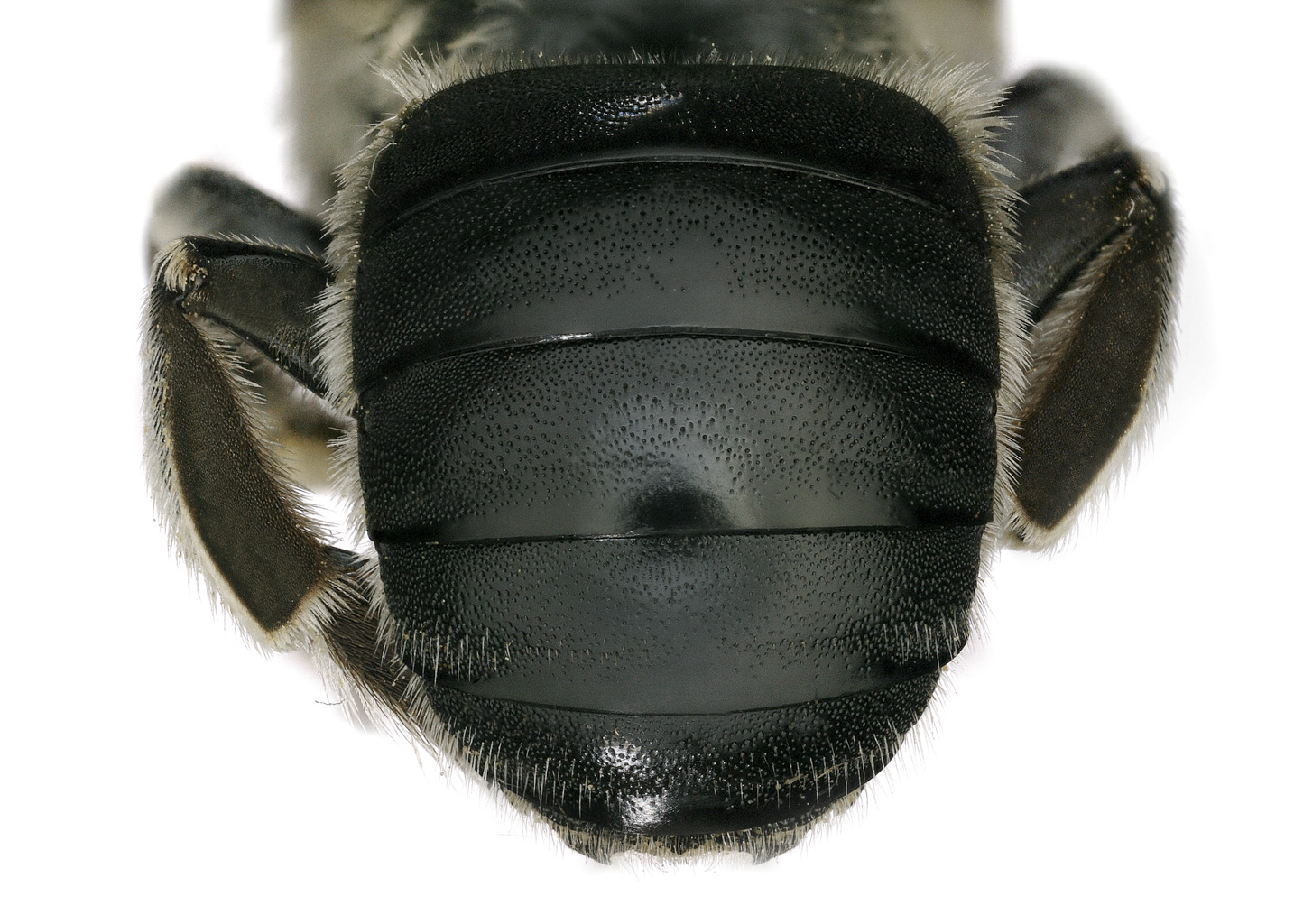 Fig 14. <em>Anthidium rodriguezi</em>&nbsp;female abdomen.  Photo: C. Ritner