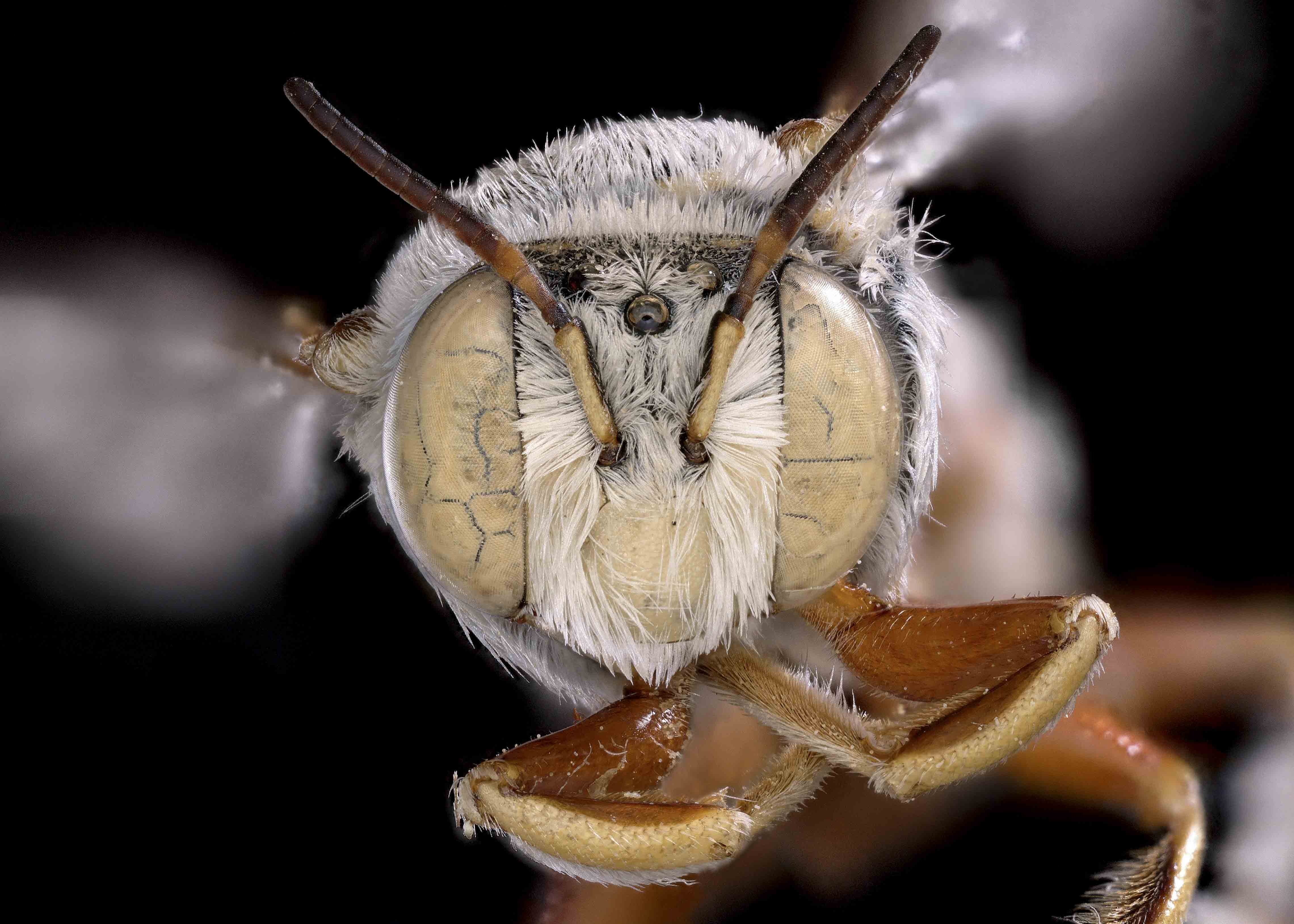 Fig 4. <em>Anthidium tesselatum</em> male face.&nbsp;  Photo: C. Ritner
