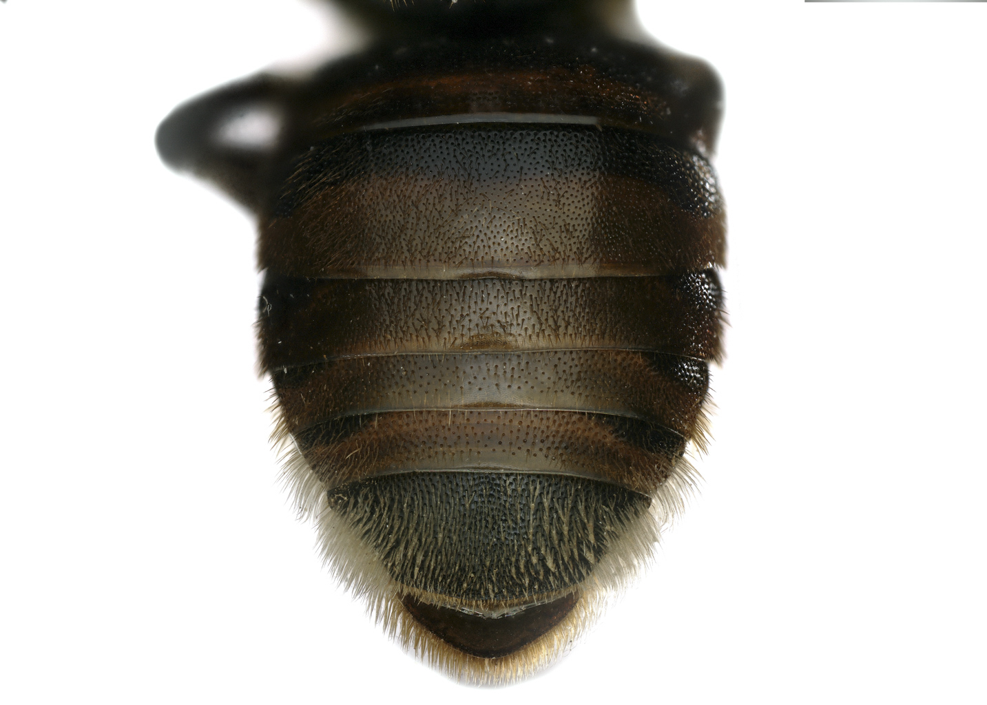 Fig 5.&nbsp;<em>Anthidiellum rufomaculatum</em> female abdomen.&nbsp;Photo:  C. Ritner