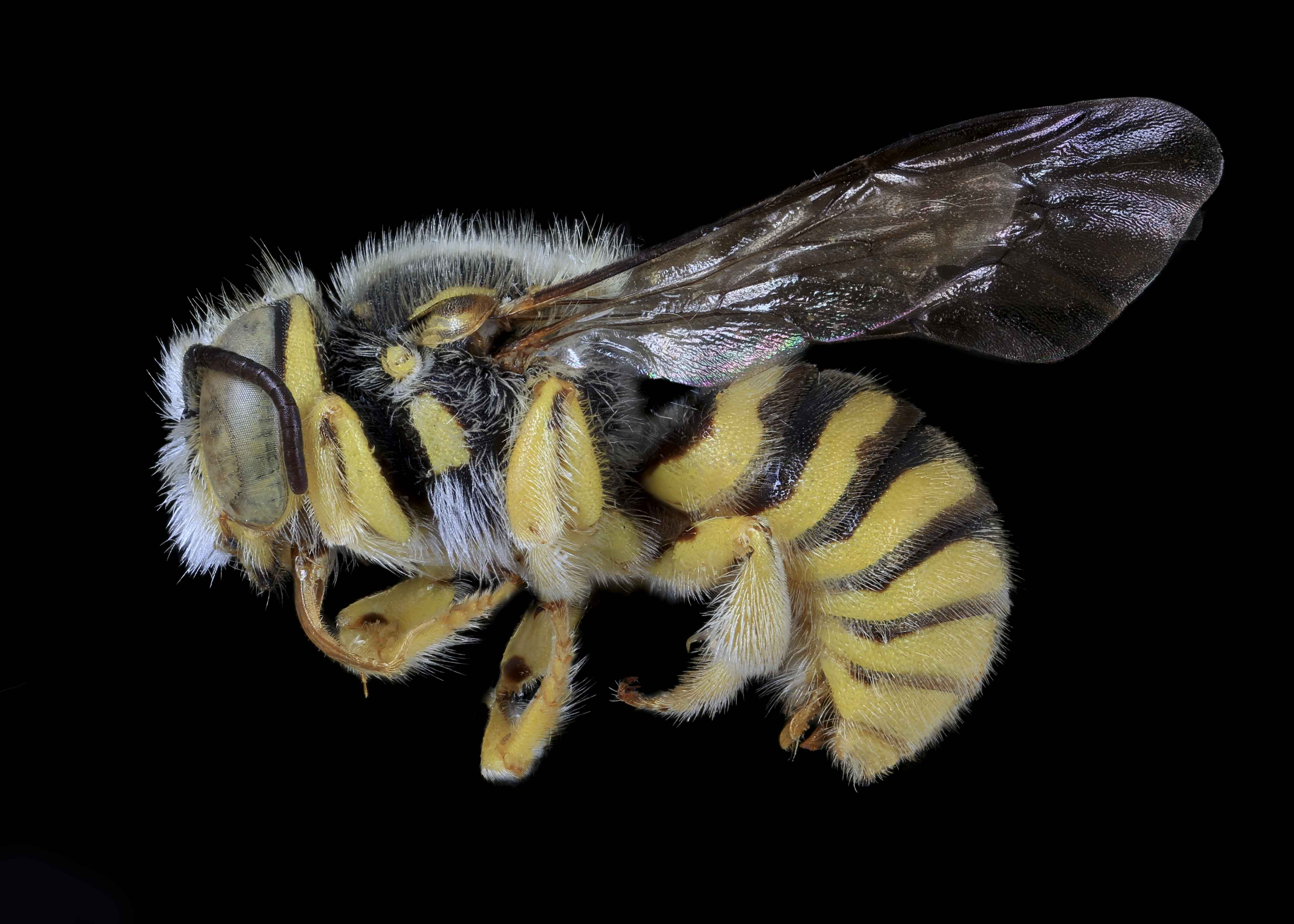 Fig 2.&nbsp;<em>Acedanthidium&nbsp;</em>sp. male lateral habitus.  Photo: C. Ritner  &copy; Division of Entomology, University of Kansas Biodiversity Institute