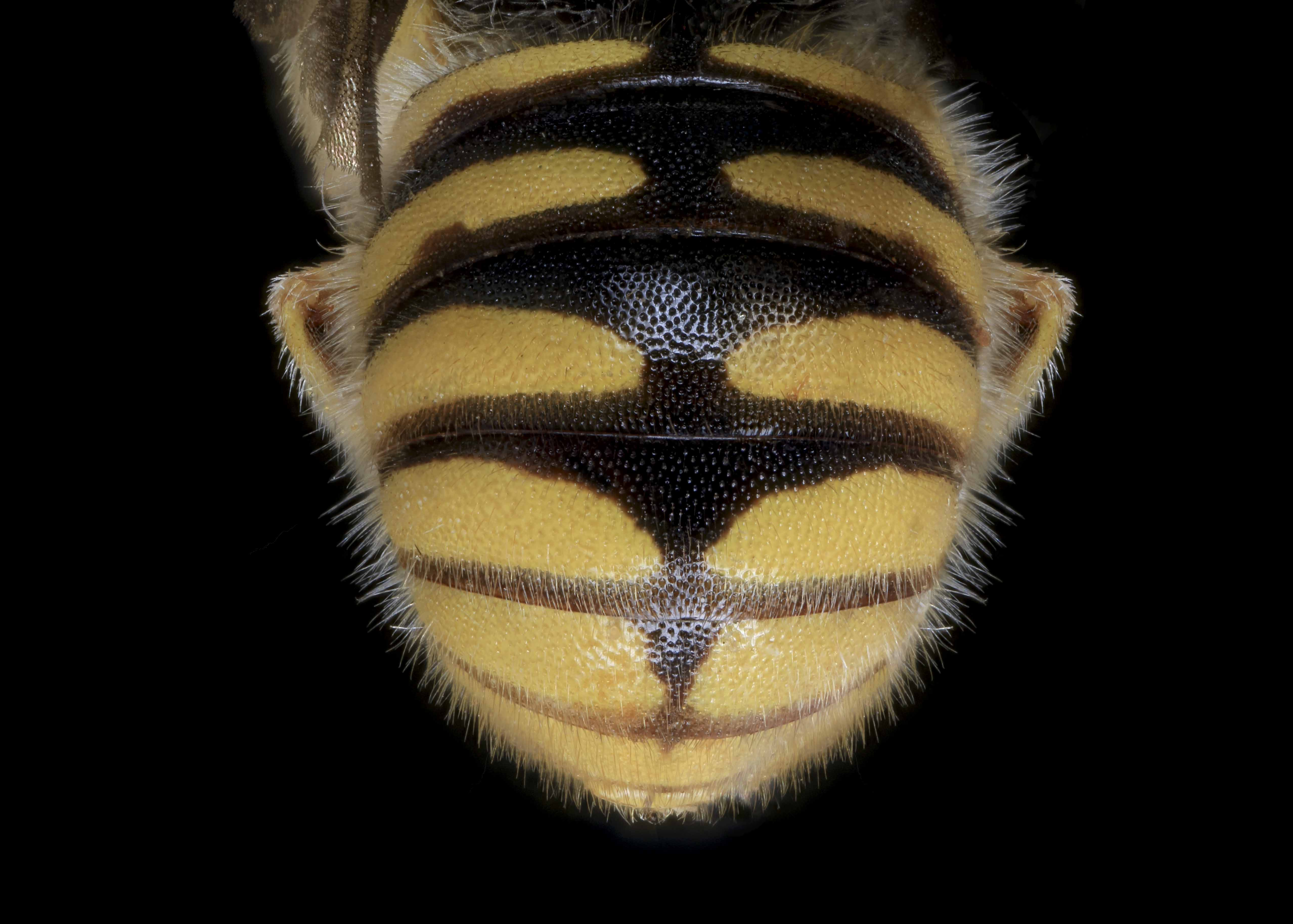 Fig 3.&nbsp;<em>Acedanthidium&nbsp;</em>sp. male abdomen.  Photo: C. Ritner  &copy; Division of Entomology, University of Kansas Biodiversity Institute