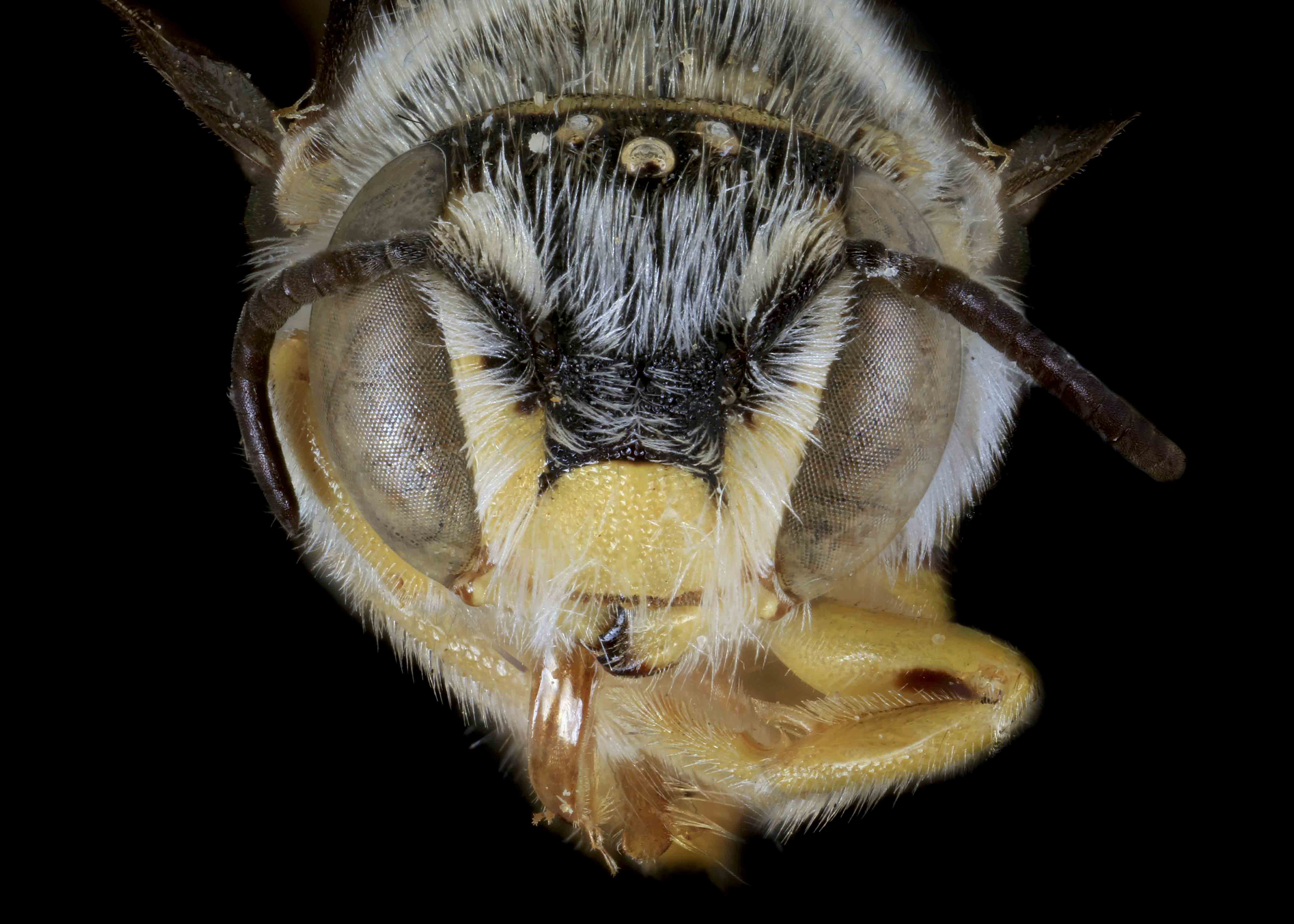 Fig 1.&nbsp;<em>Acedanthidium&nbsp;</em>sp. male face.  Photo: C. Ritner  &copy; Division of Entomology, University of Kansas Biodiversity Institute