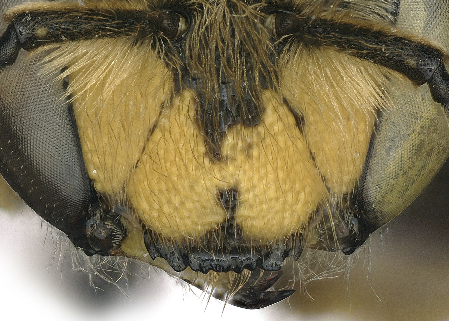 Fig 9. <em>Anthidium clypeodentatum</em> female clypeus.  Photo: C. Ritner