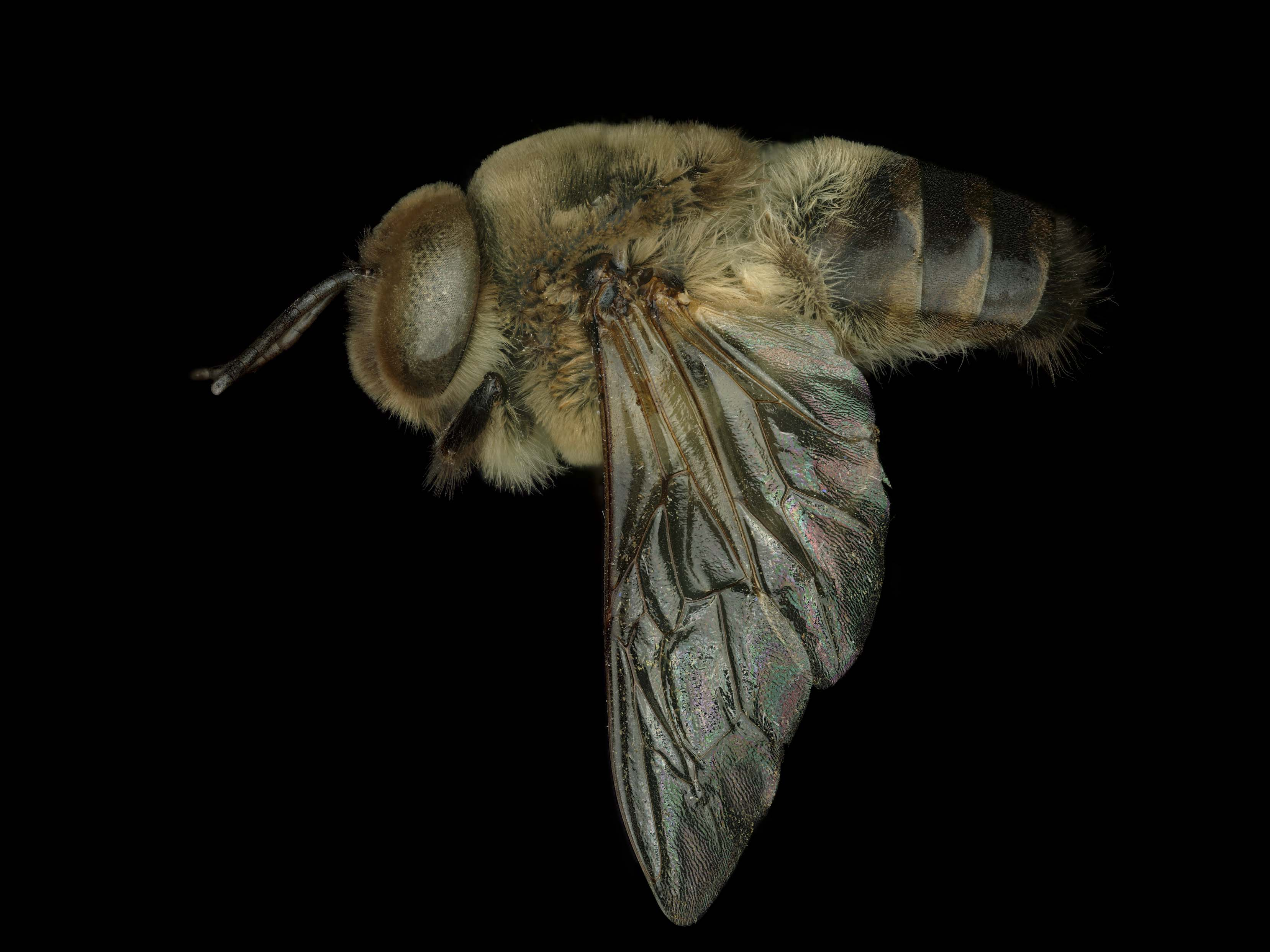 <p>Fig 13, <em>Apis mellifera</em> male lateral, photo: T. Brady</p>