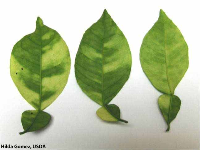 Fact Sheet: Huanglongbing (HLB) | Citrus Diseases