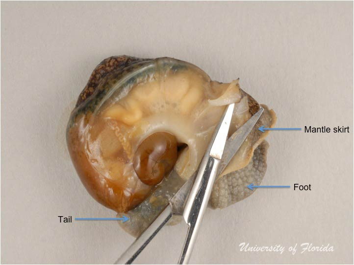 Snail Dissection